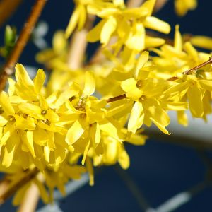 Forsythia Close-up Flower Fresh How to force forsythia Flowers In 8 Simple Steps