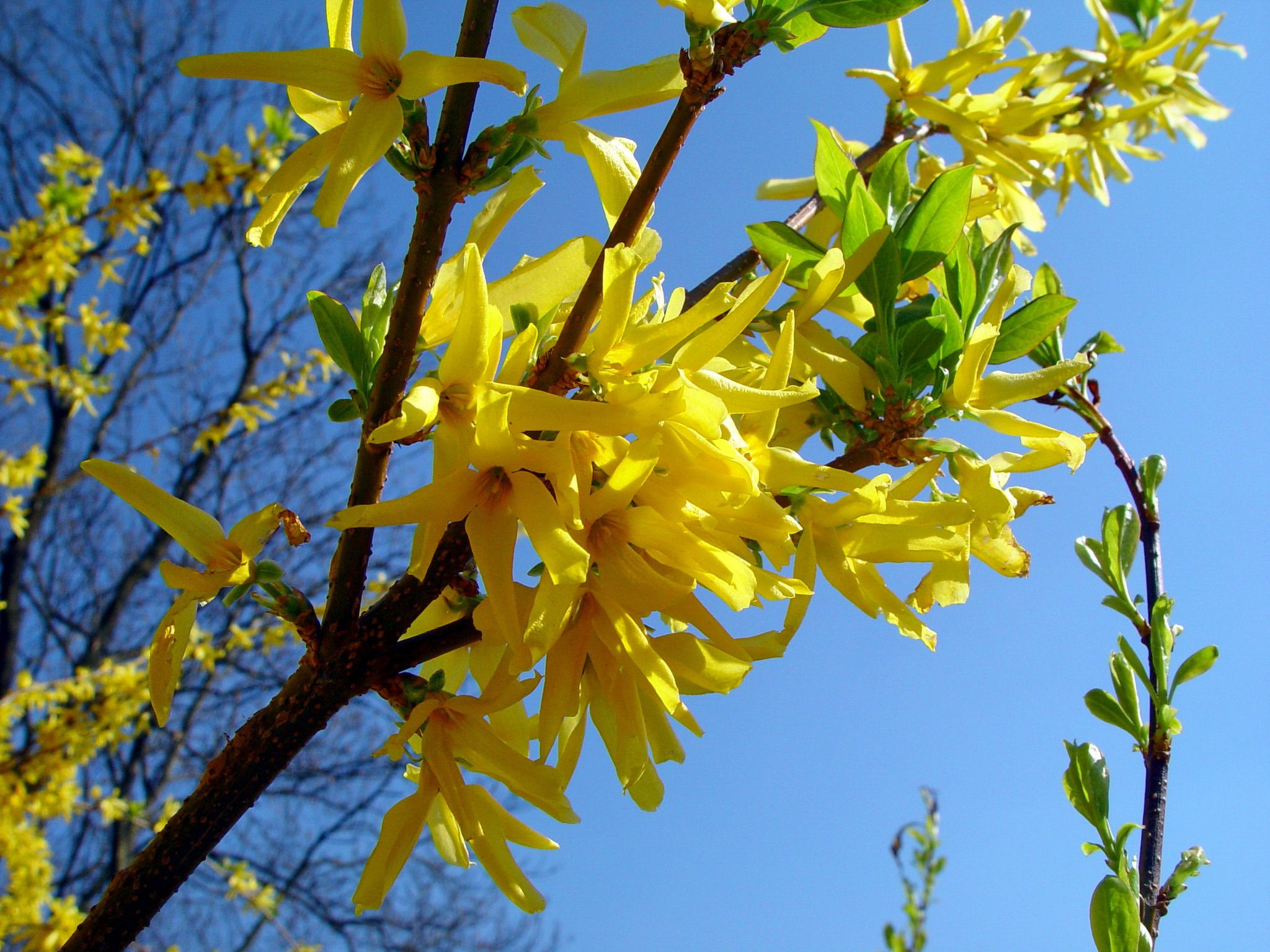 Forsythia are among the most often developed bushes in your home backyard – plus one of the very abused Several homeowners purchase a forsythia thinking