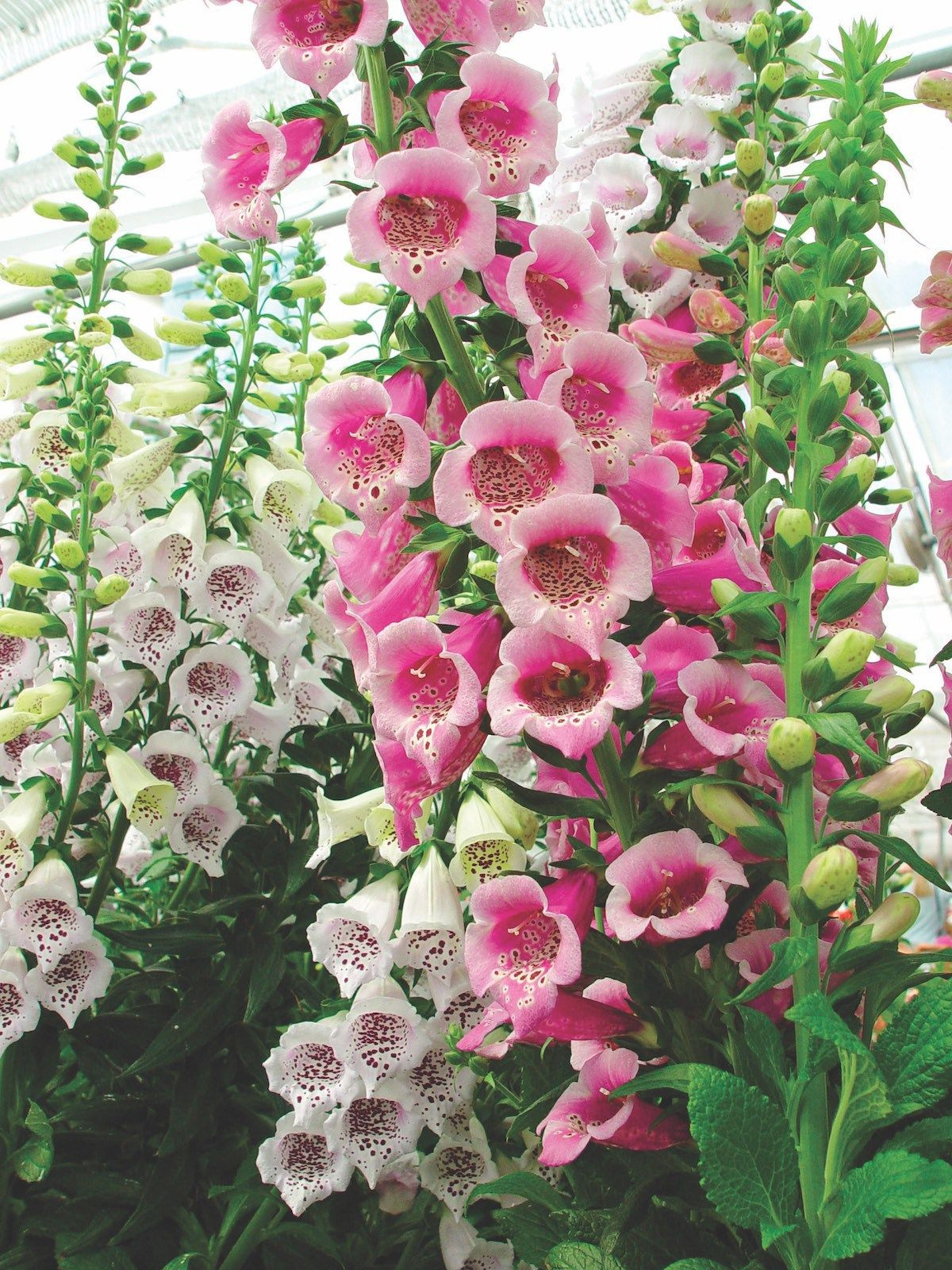 Garden designer Troy Rhone explores the many merits of foxgloves growing foxglove flowers and