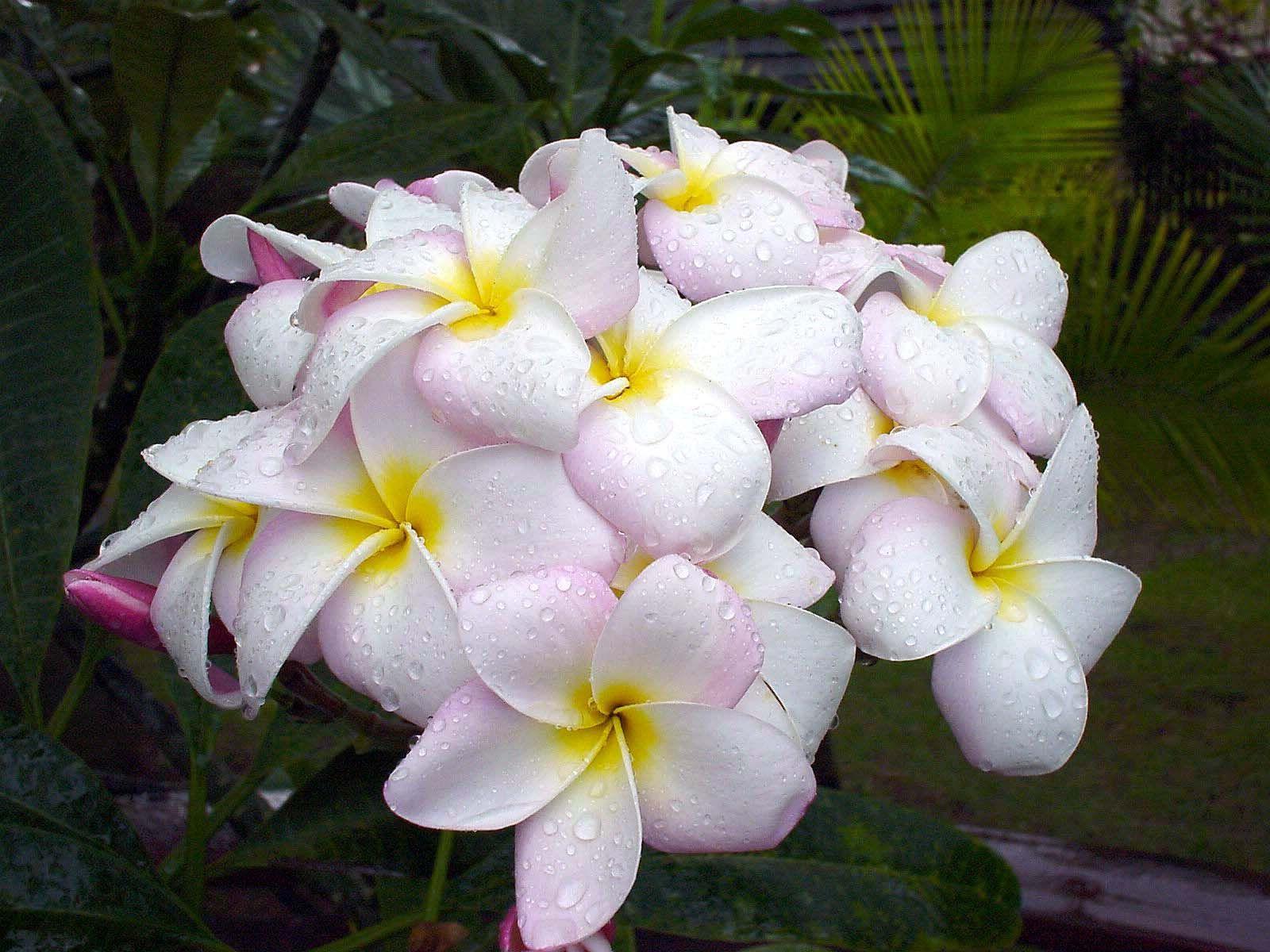 Plumeria Hawaii flower graphy