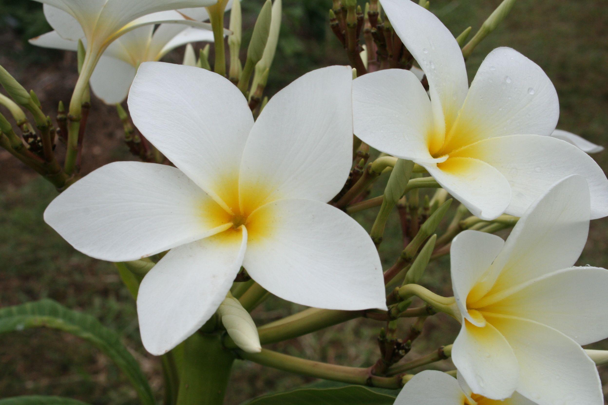 San Germain Plumeria Cutting Maui Plumeria Gardens