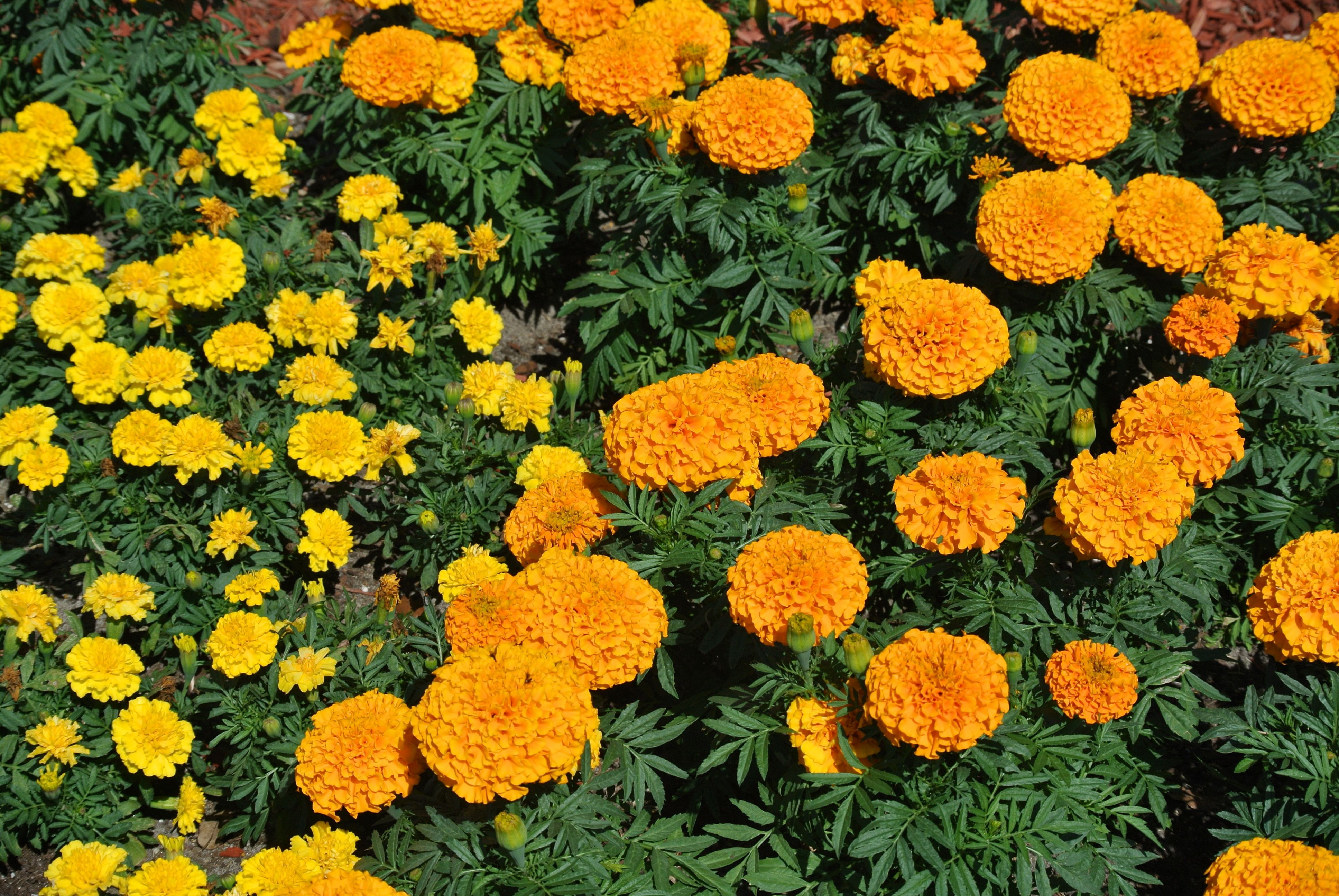 Explore Marigold French and more