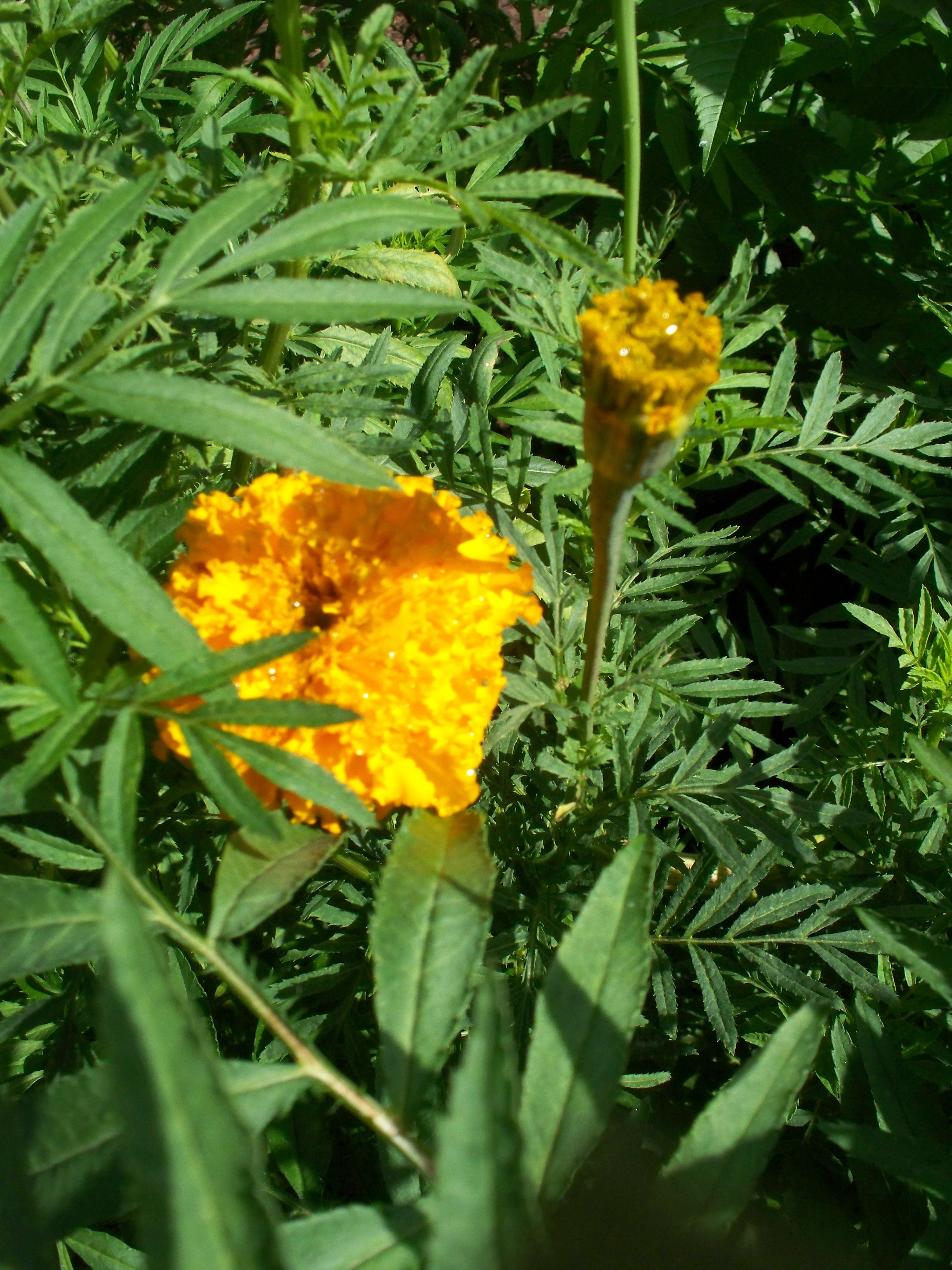 Some of my marigolds and mums flowers I grew Alice Hudson Roberts Pinterest