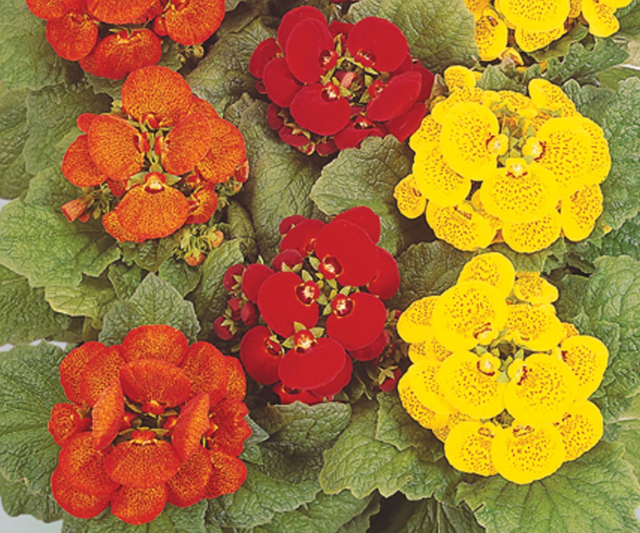 Also known as pocketbook plant or slipper flower An abundance of pouch type polka dotted flowers are borne on pact plants in shades of red orange