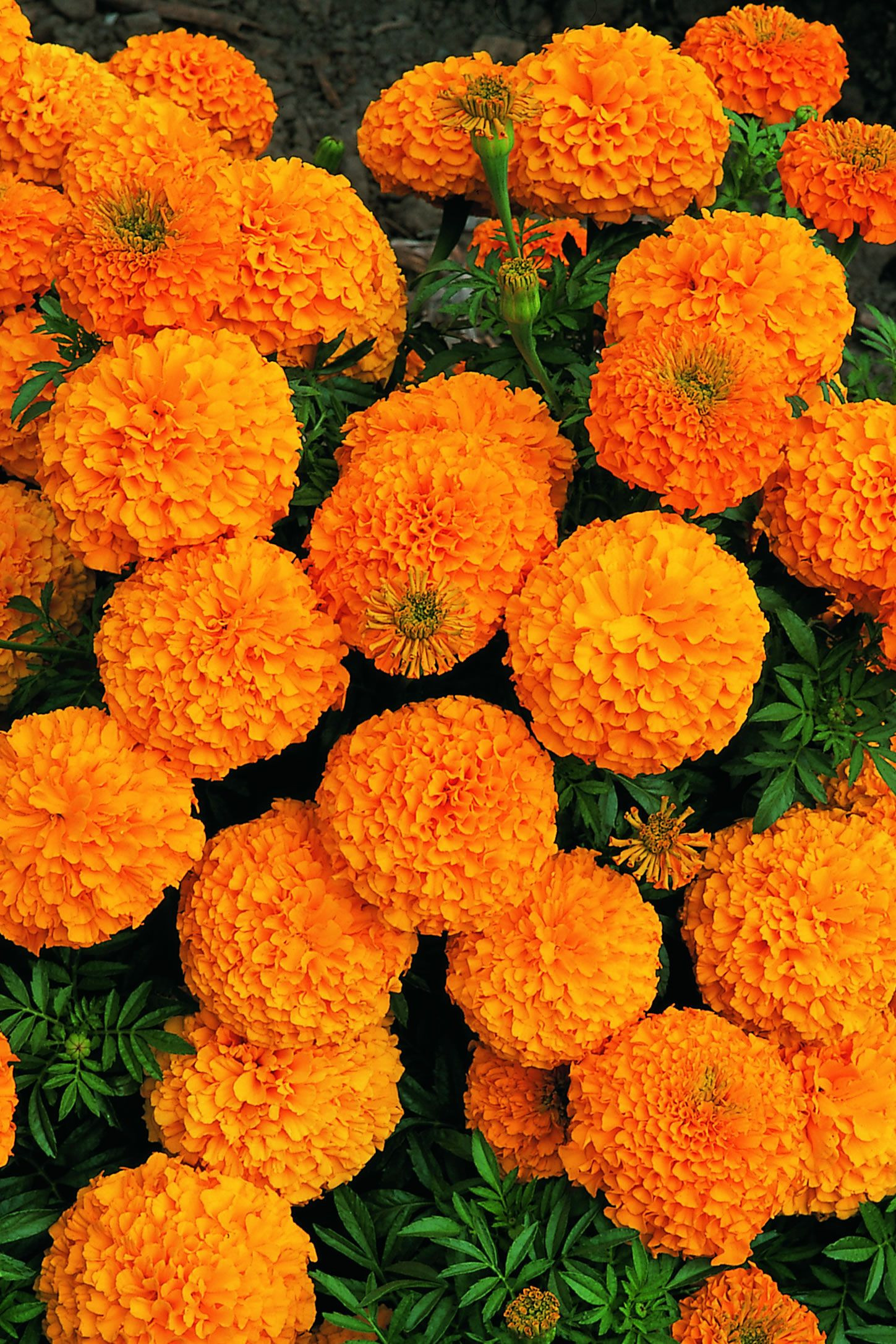 """Marigold flowers are a important Day of the Dead symbol These yellow flowers are referred to as the """"flower of the dead"""" the traditional flower to honor"""