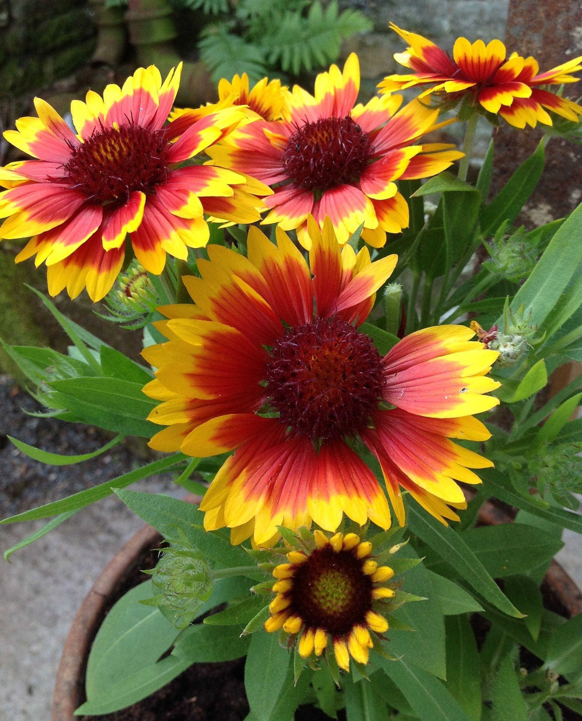 Gaillardia Arizona Mix Flowers Pinterest