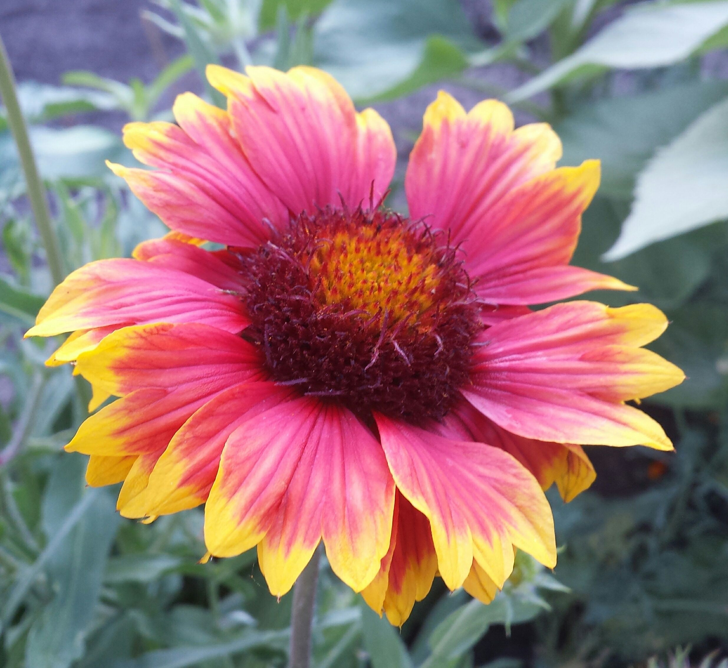 July 8 2017 Gaillardia BlanketFlower Perennial Bloom Ornamental Zone 3