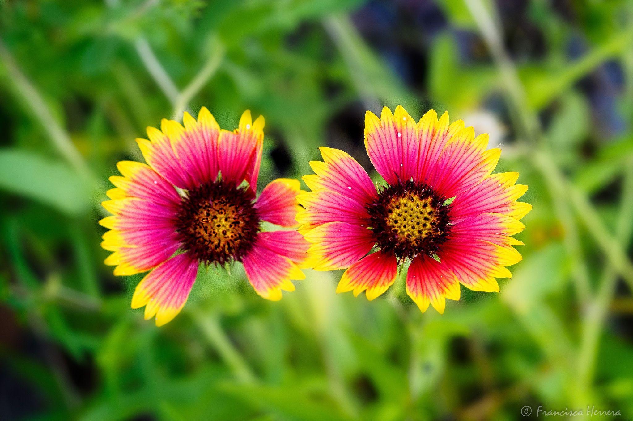 Firewheel flower Gaillardia