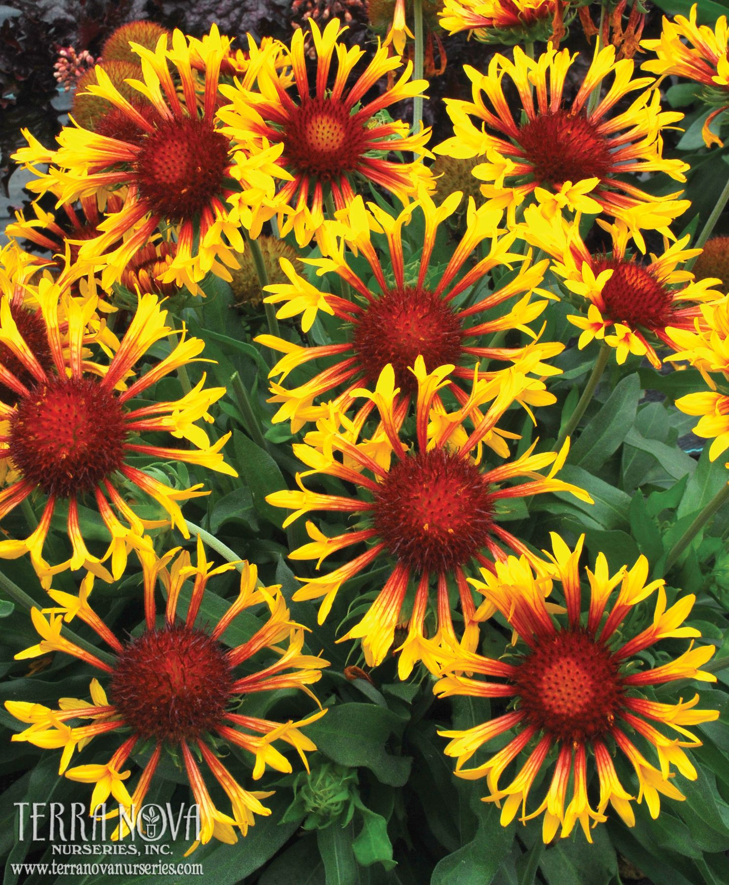 Gaillardia Sun Flare Bicolor gold and red trumpets herald Gaillardia Sun Flare The habit is very pact and a bit silvered