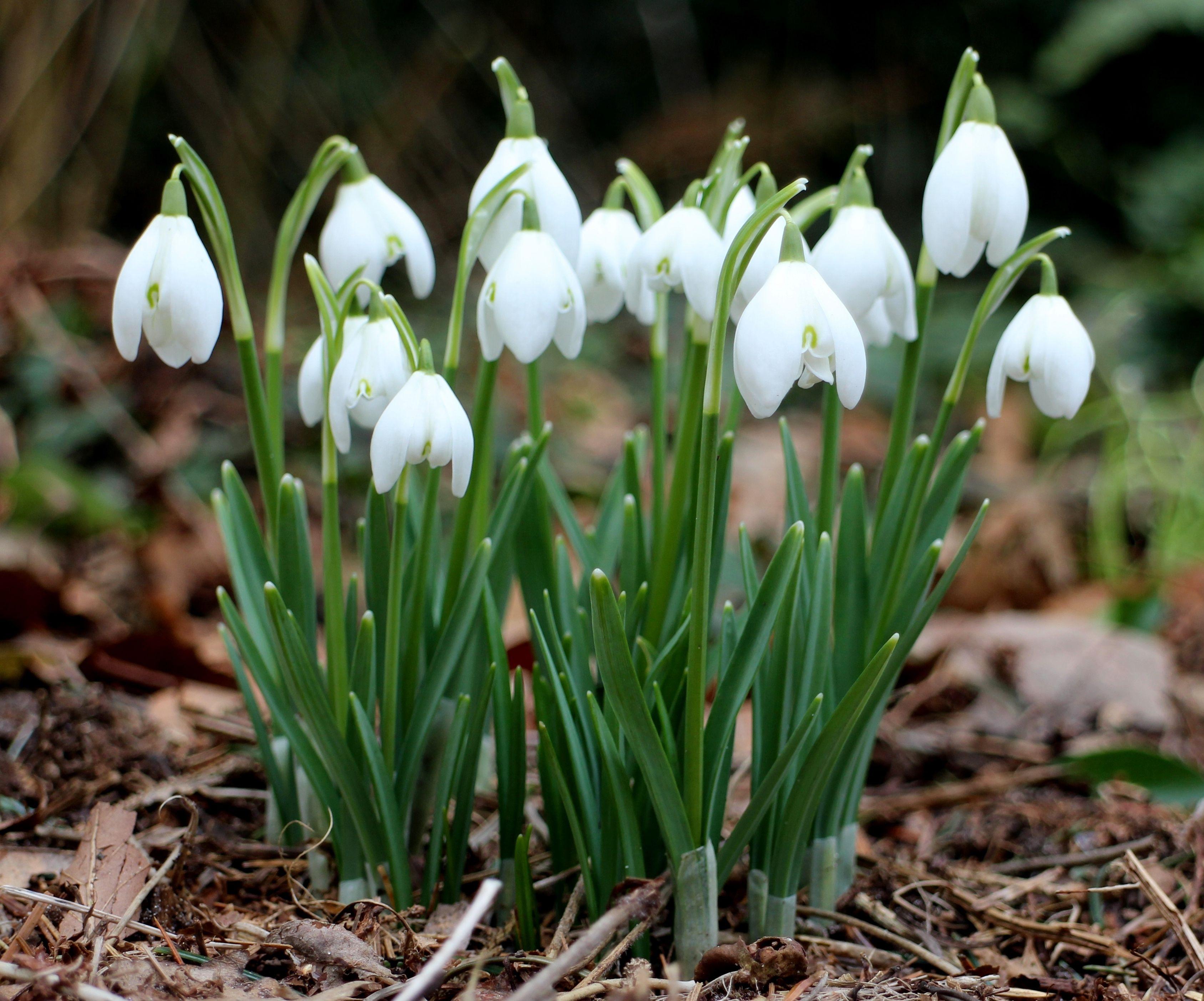 Galanthus nivalis Snowdrops Bucaneve