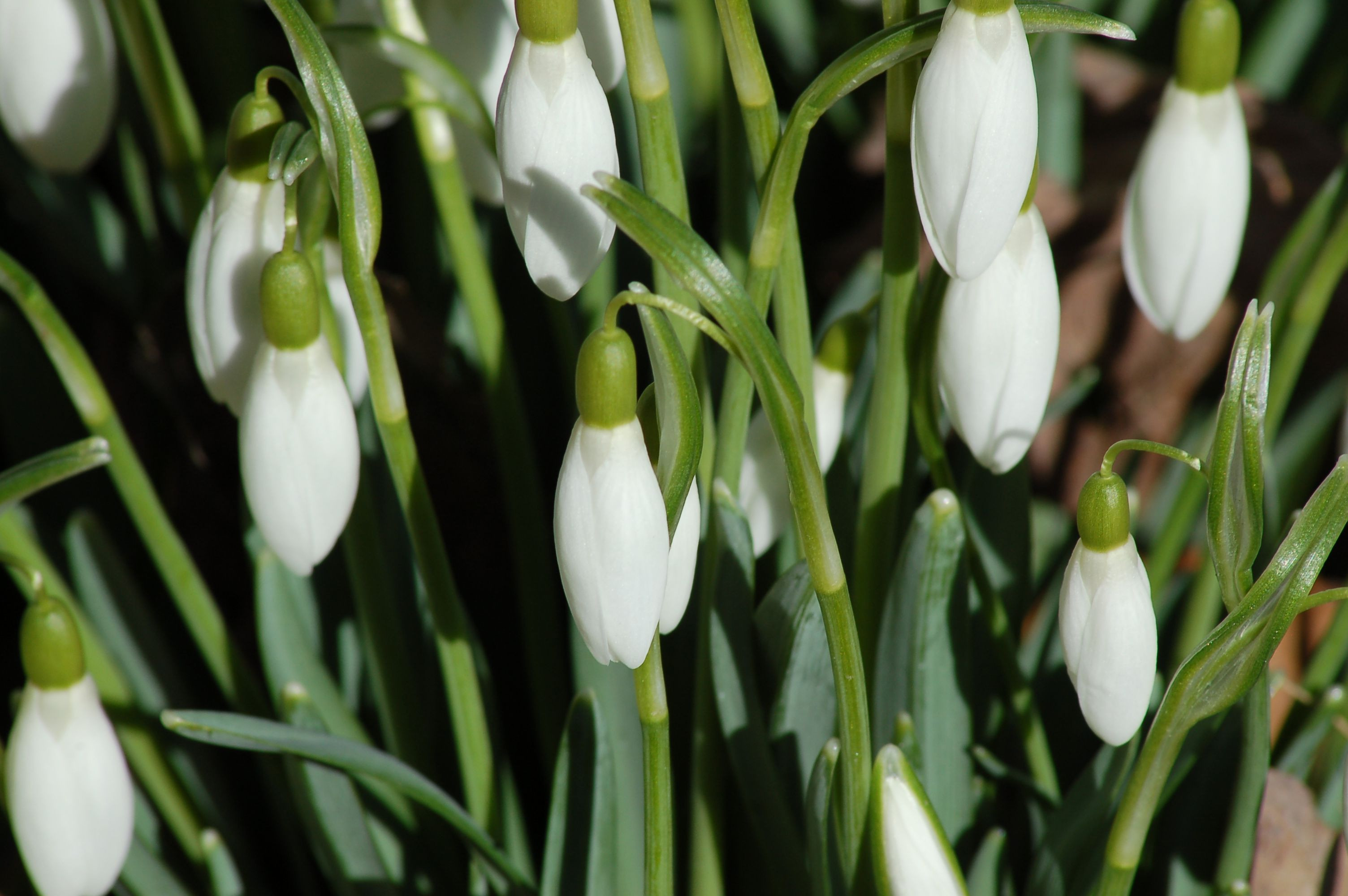 Galanthus Nivalis Flower Inspirational How to Grow and Care for Snowdrop Flowers