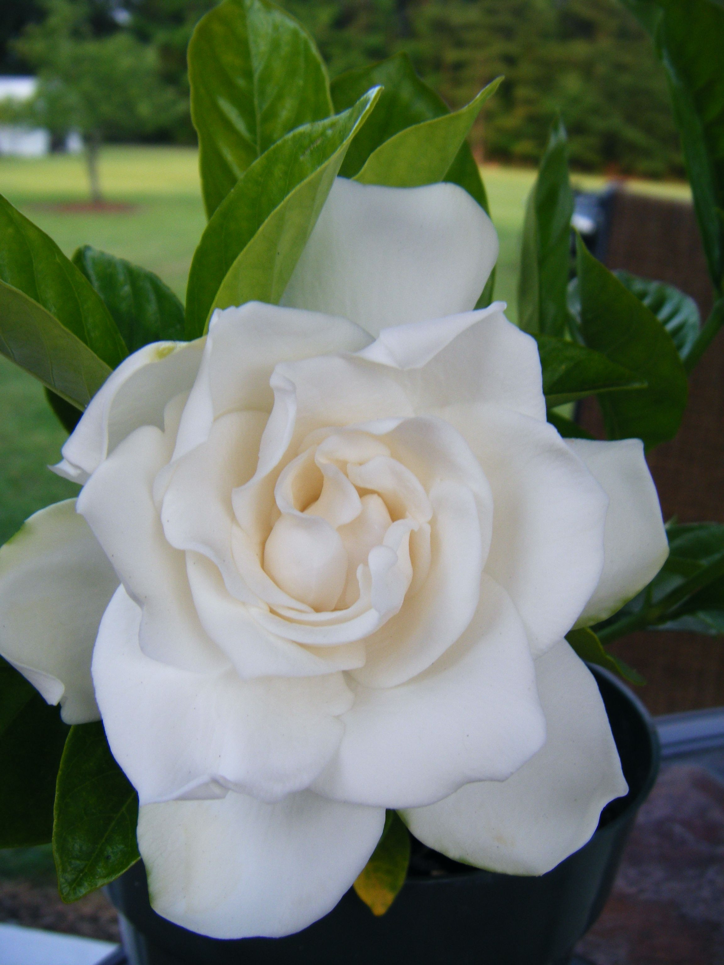 Gardenia I want a whole garden of them It is best to prune gardenia plants right after the blooms have faded in the summer Gardenias will set their
