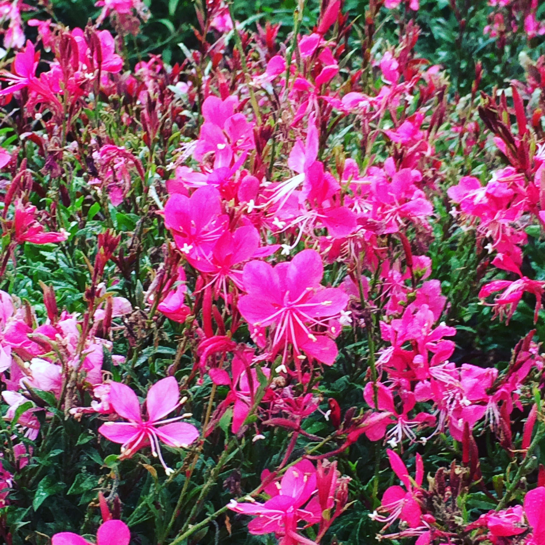 Gaura lindheimeri Para primavera verano y oto±o en climas cálidos