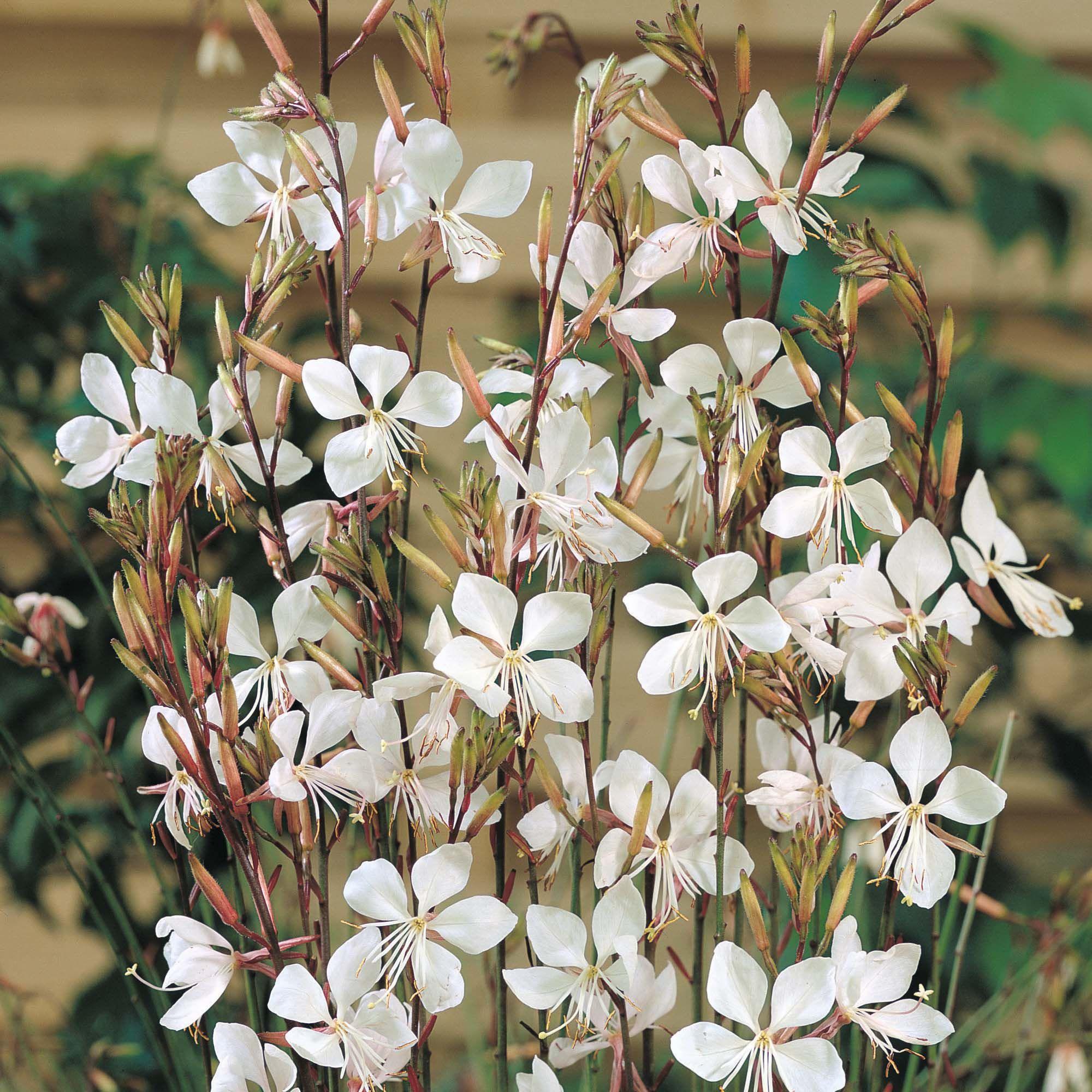 White gaura Gaura lindheimeri
