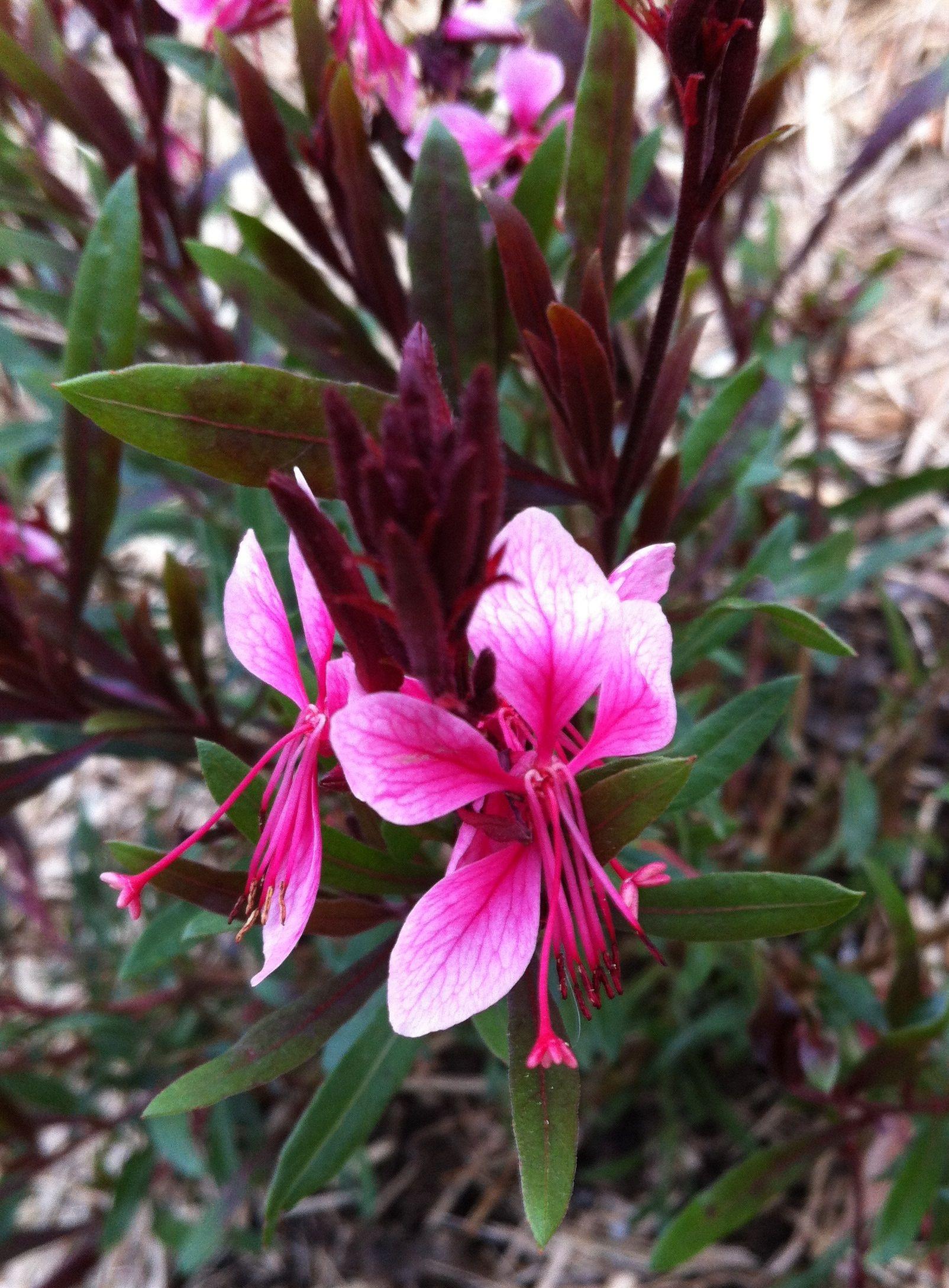 Gaura Belleza pact Light Pink
