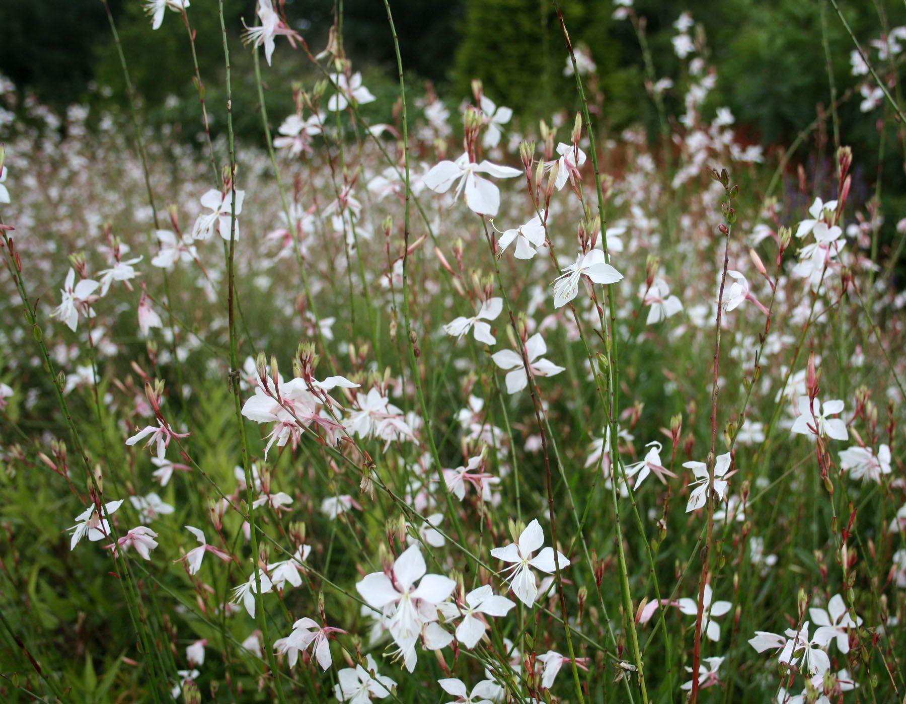 Gaura lindheimeri Whirling Butterflies prachtkaars Vaste planten