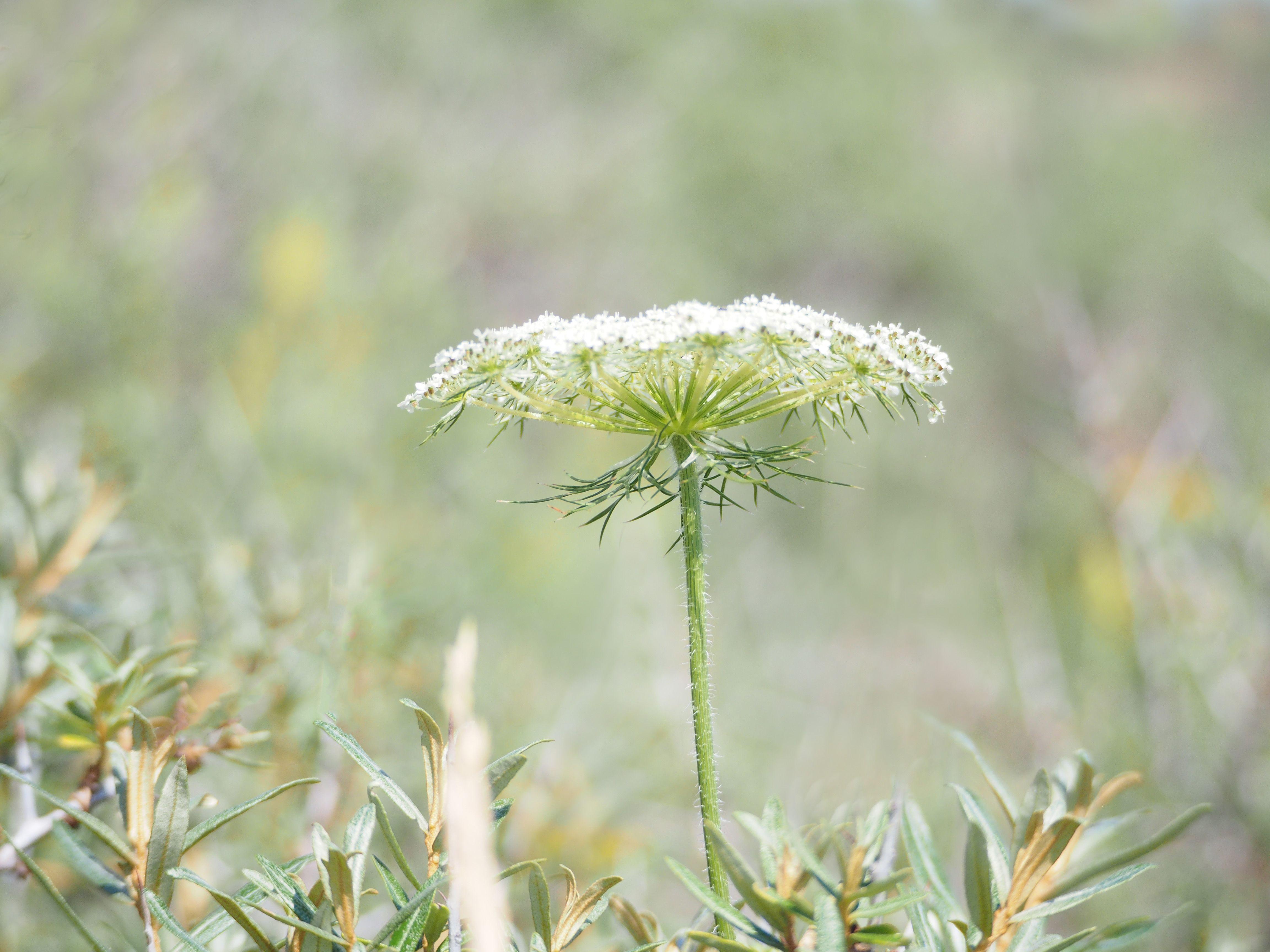 Witte schermbloemen herkennen schermbloemen
