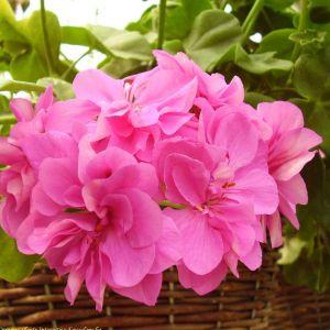 Geranium Flower Beautiful Pelargonium Alice Crousse