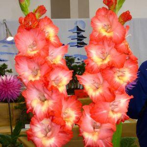 Gladiolus Flower Luxury Gladiolus Symbolizes Strength Of Character Faithfulness and Honor
