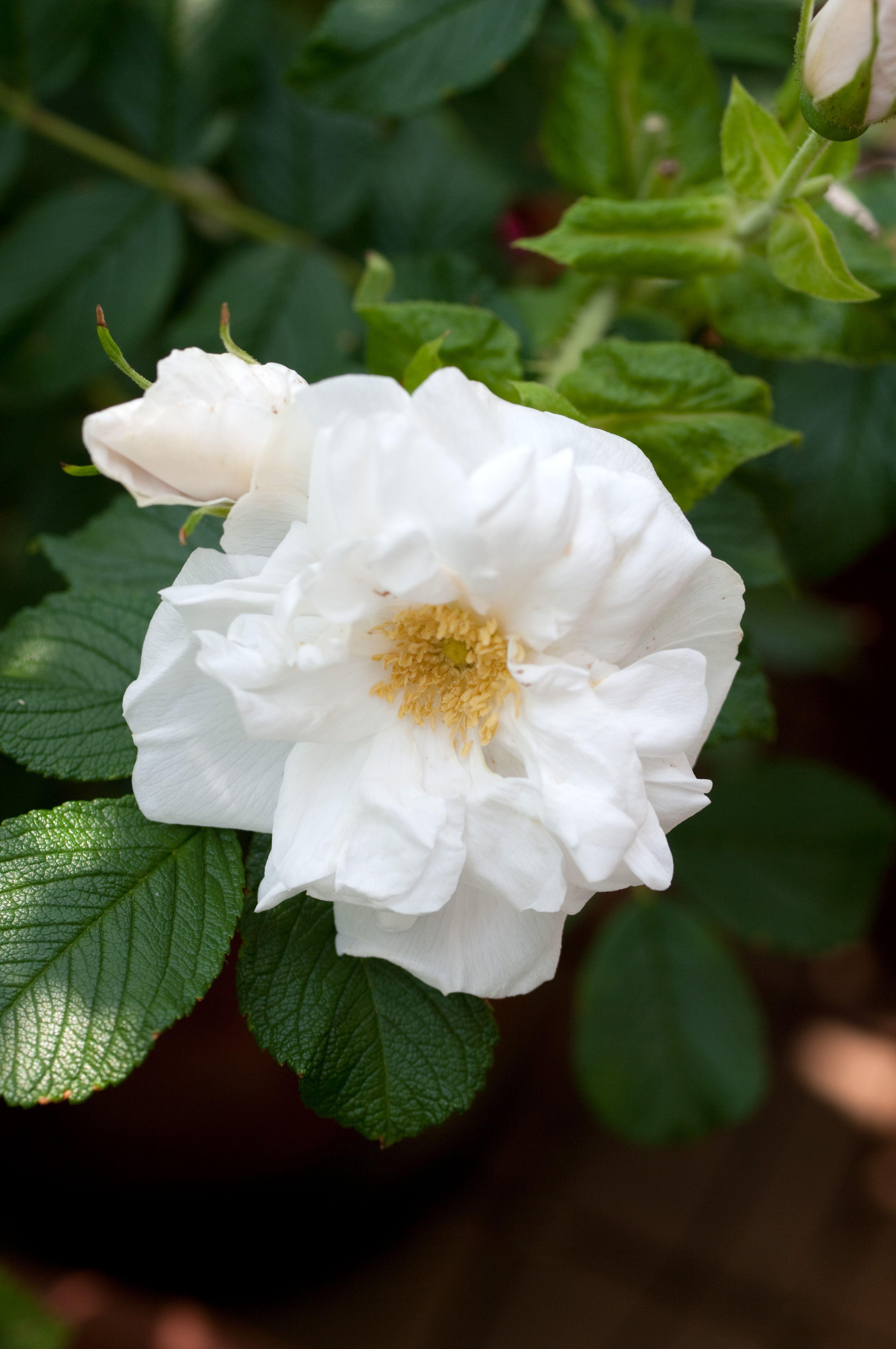 Hybrid Rugosa Shrub Rose Rosa Blanc Double de Coubert AKA Muslin Rose