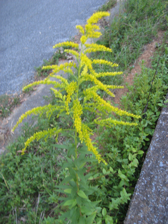 Canada Goldenrod Solidago canadensis Edible Medicinal gspot