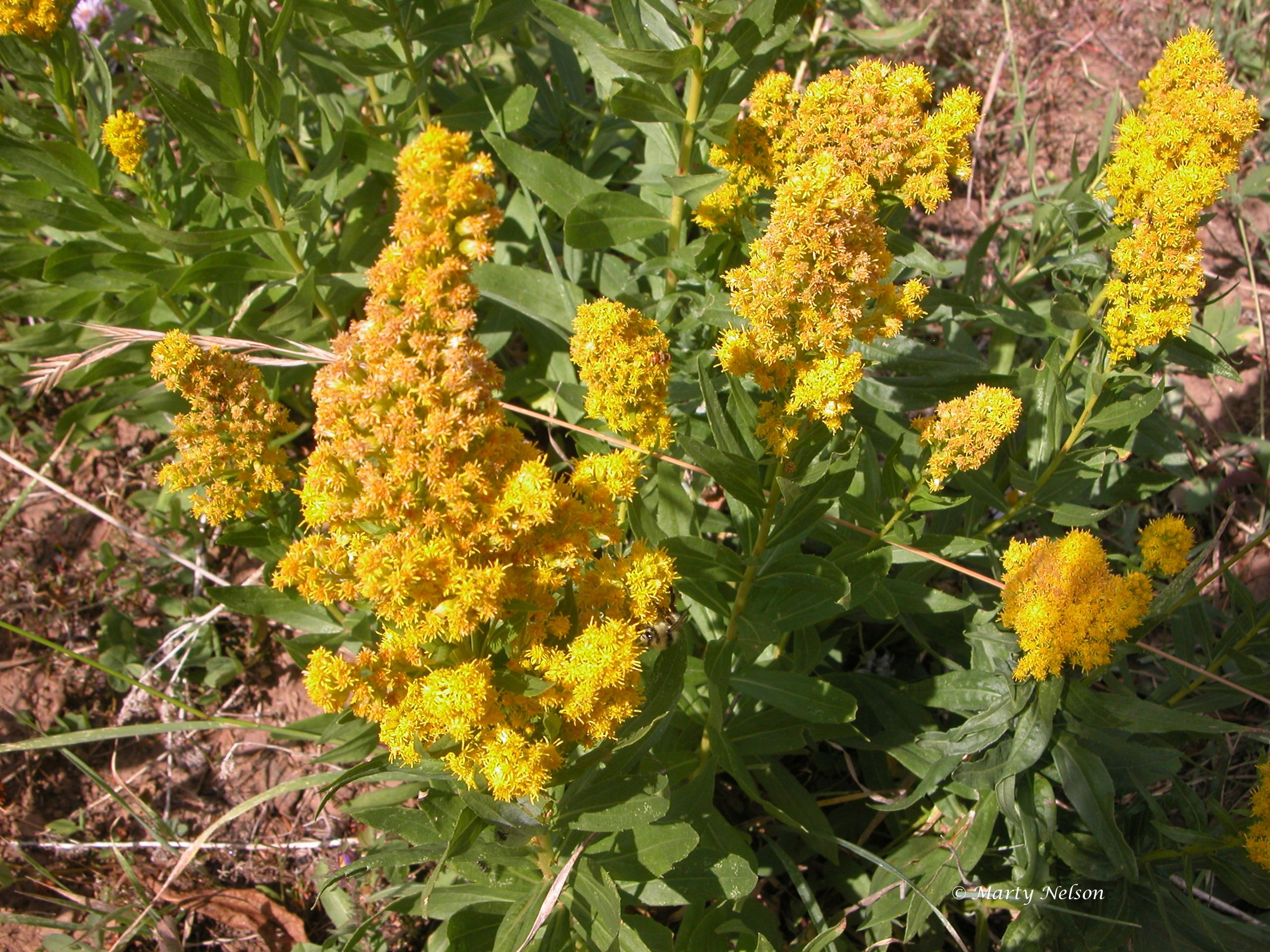Goldenrod blooming in the Wallowa Mountains of eastern Oregon © copyright by Marty
