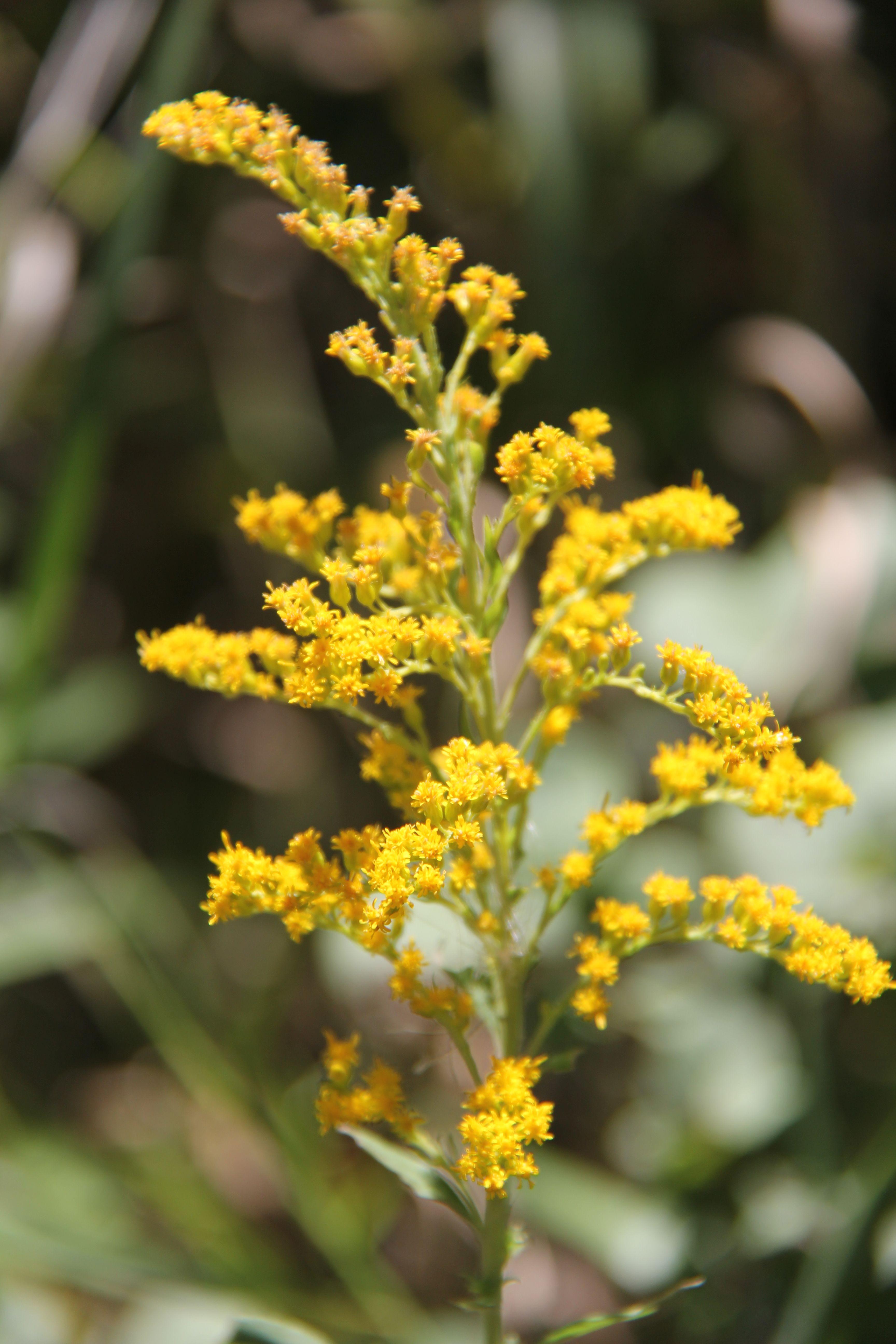 Goldenrod Flowers Pinterest
