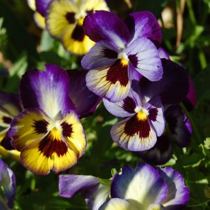 "Heartsease Flower Best Of the Pansy is Called the ""trinity Flower"" because Its Three Petaled"