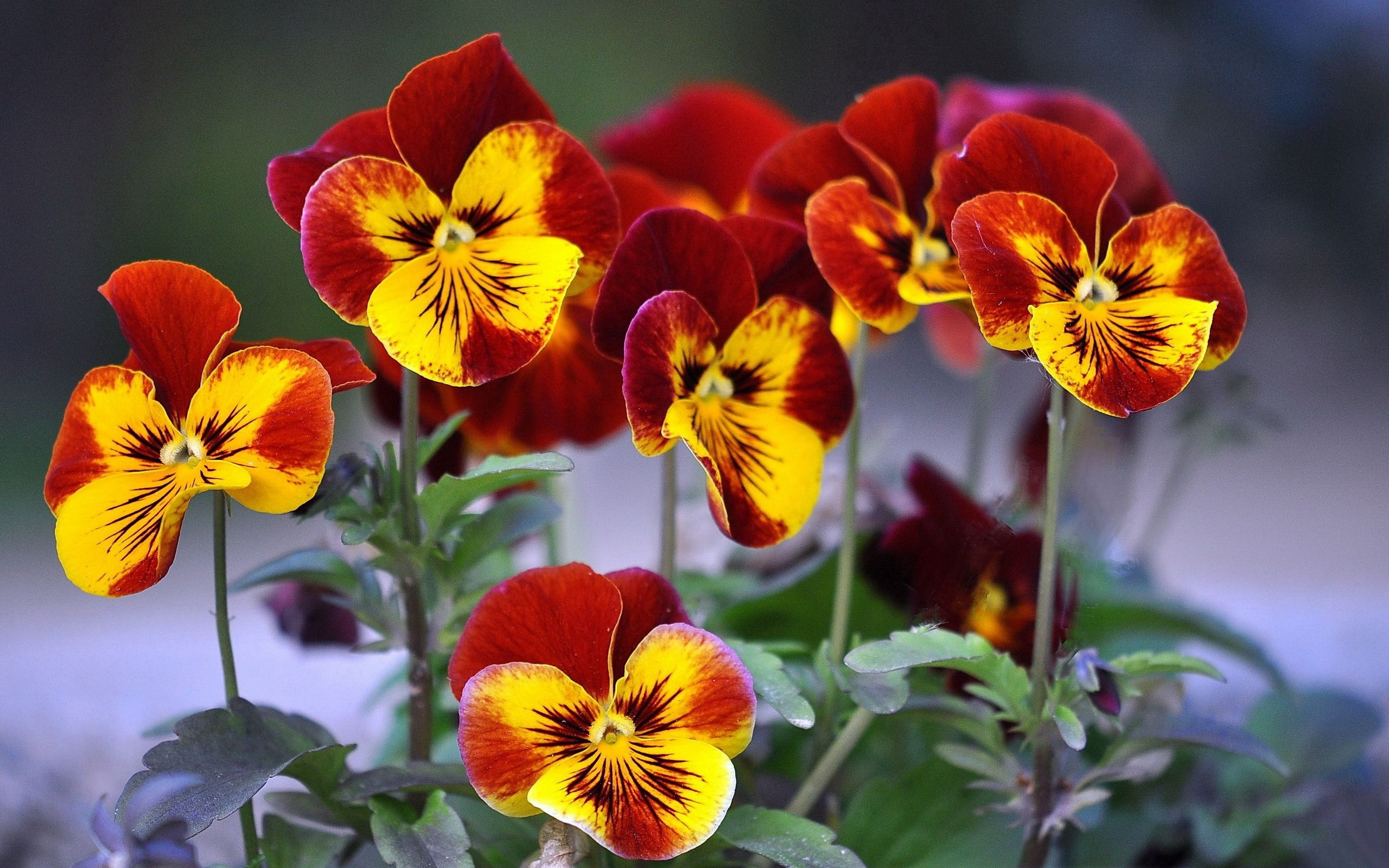 цветы анютины гРазки фото картинки 14 тыс изображений найдено в Яндекс Картинках