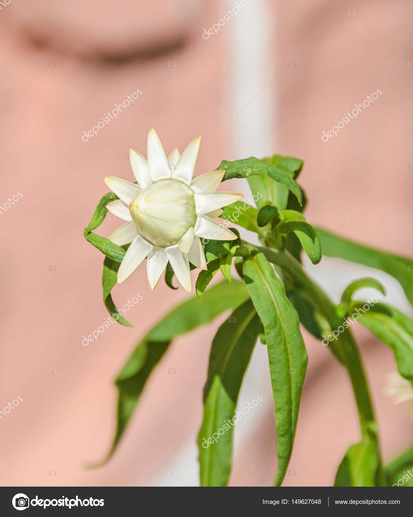 Blá Xerochrysum bracteatum květiny běžně znám½ jako zlaté věčnosti nebo strawflower čeledi hvězdnicovité — Fotografie od ncristian