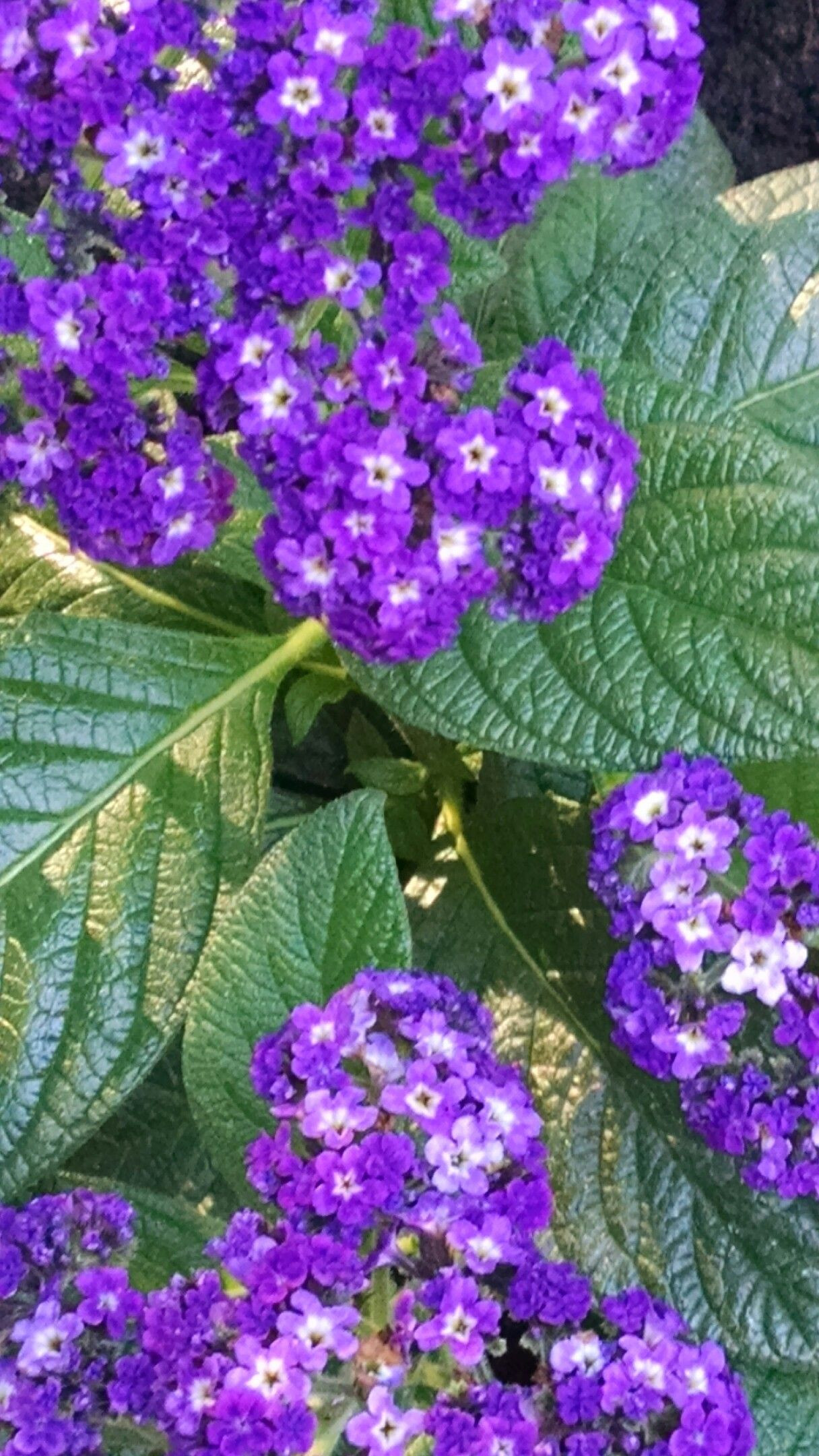 Explore Flowers and more Heliotrope July 2016