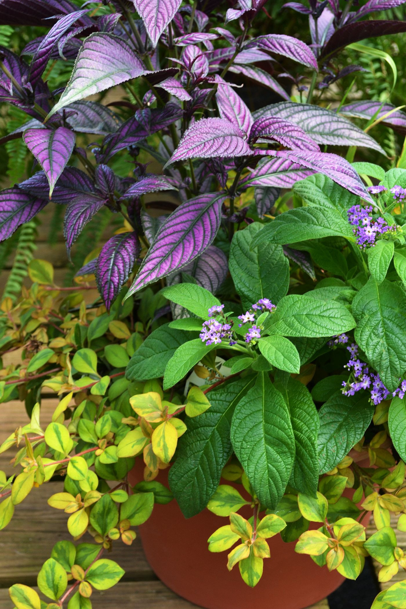 The iridescent colorful purple and silver leaves of Persian Shield add a burst of color against fillers heliotrope and ornamental grass