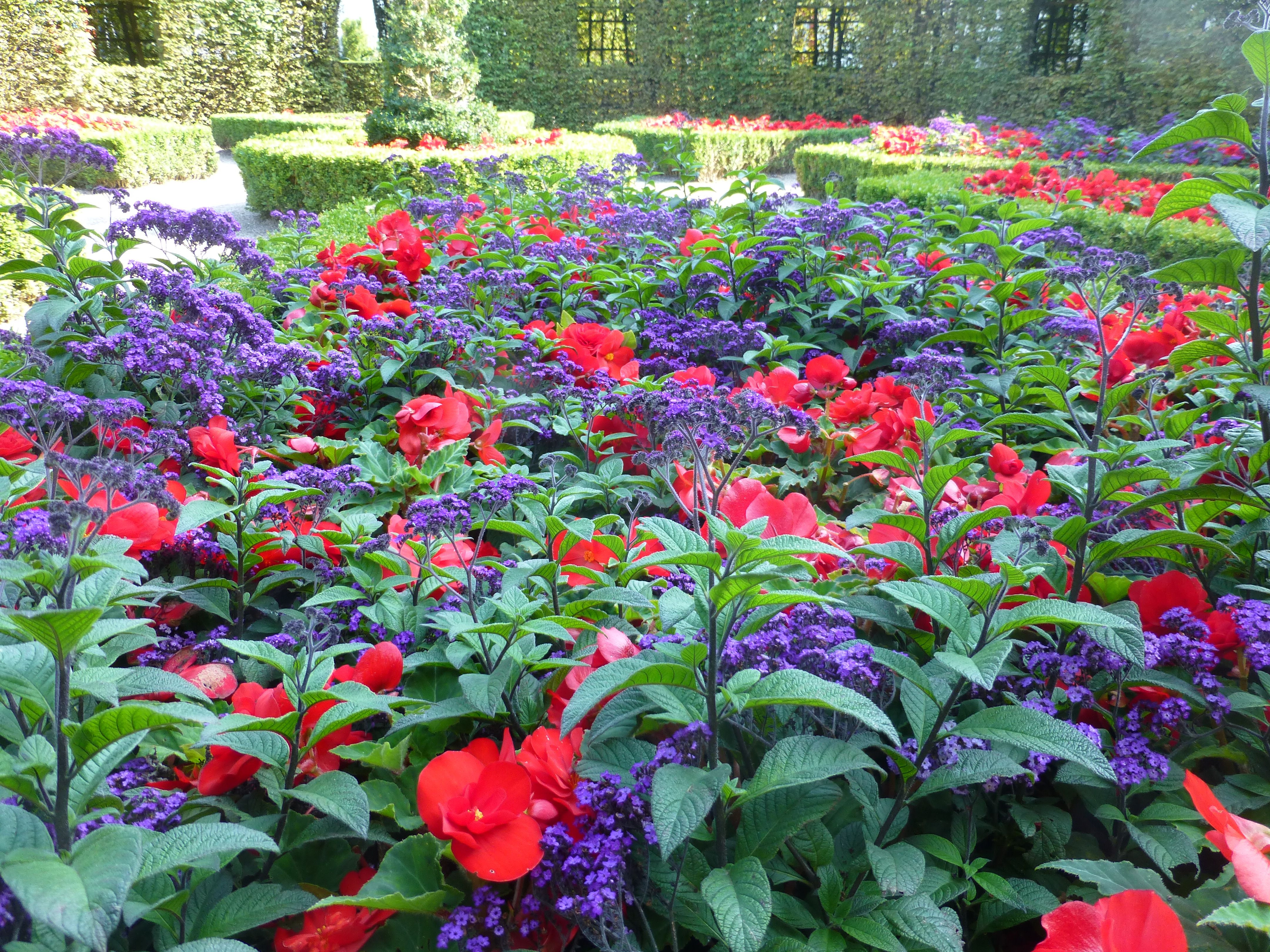 Lovely bination of heliotrope and begonia in flowerbeds in the Prinsenhof in Groningen NL