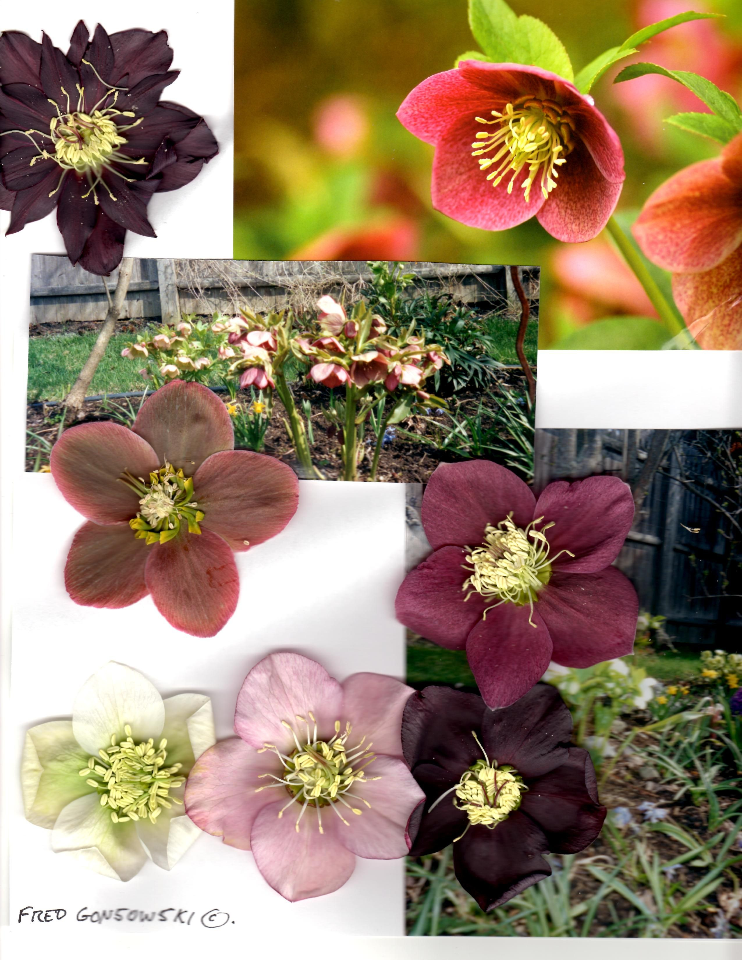 Hellebores or Lenten Roses as sometimes called bloom in Spring & are long bloomers after the