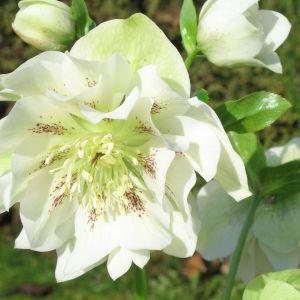 Hellebore Flower Lovely White Hellebore Google Search Helleborus Pinterest