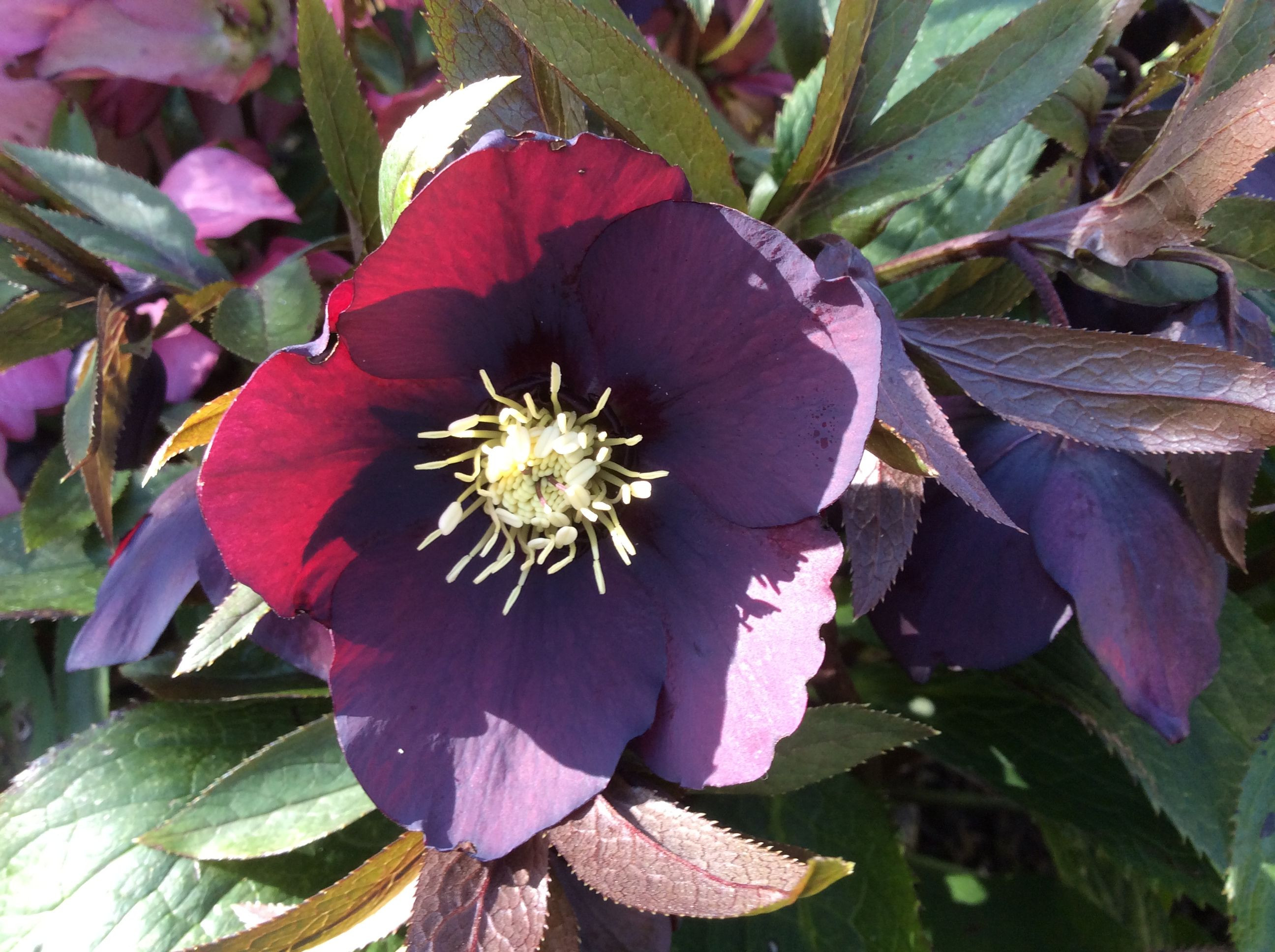 Hellebore in the winter sun Mary