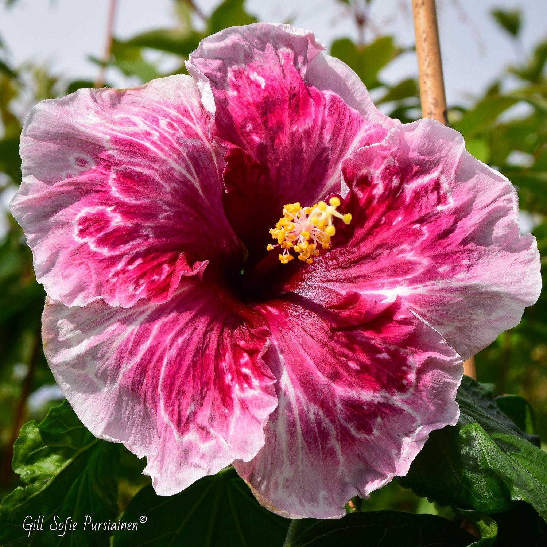 Hibiscus Norway Juliet
