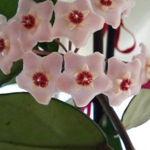 Hoya Carnosa Flower Lovely Hoya Carnosa Hoya Lar Ve Kohleria Lar