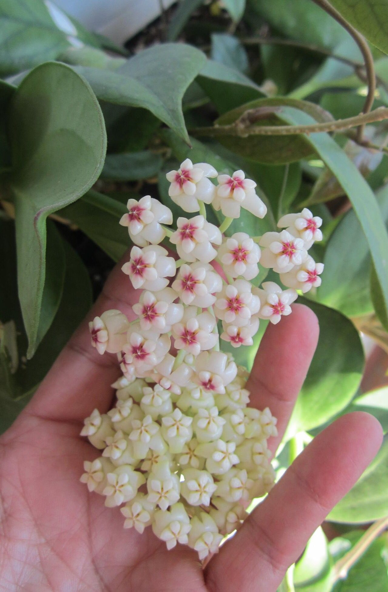 Hoya pachyclada red corona and white corona I m looking for pachyclada pink corona and for pachyclada variegated Does anyone in the EU have a cutting to