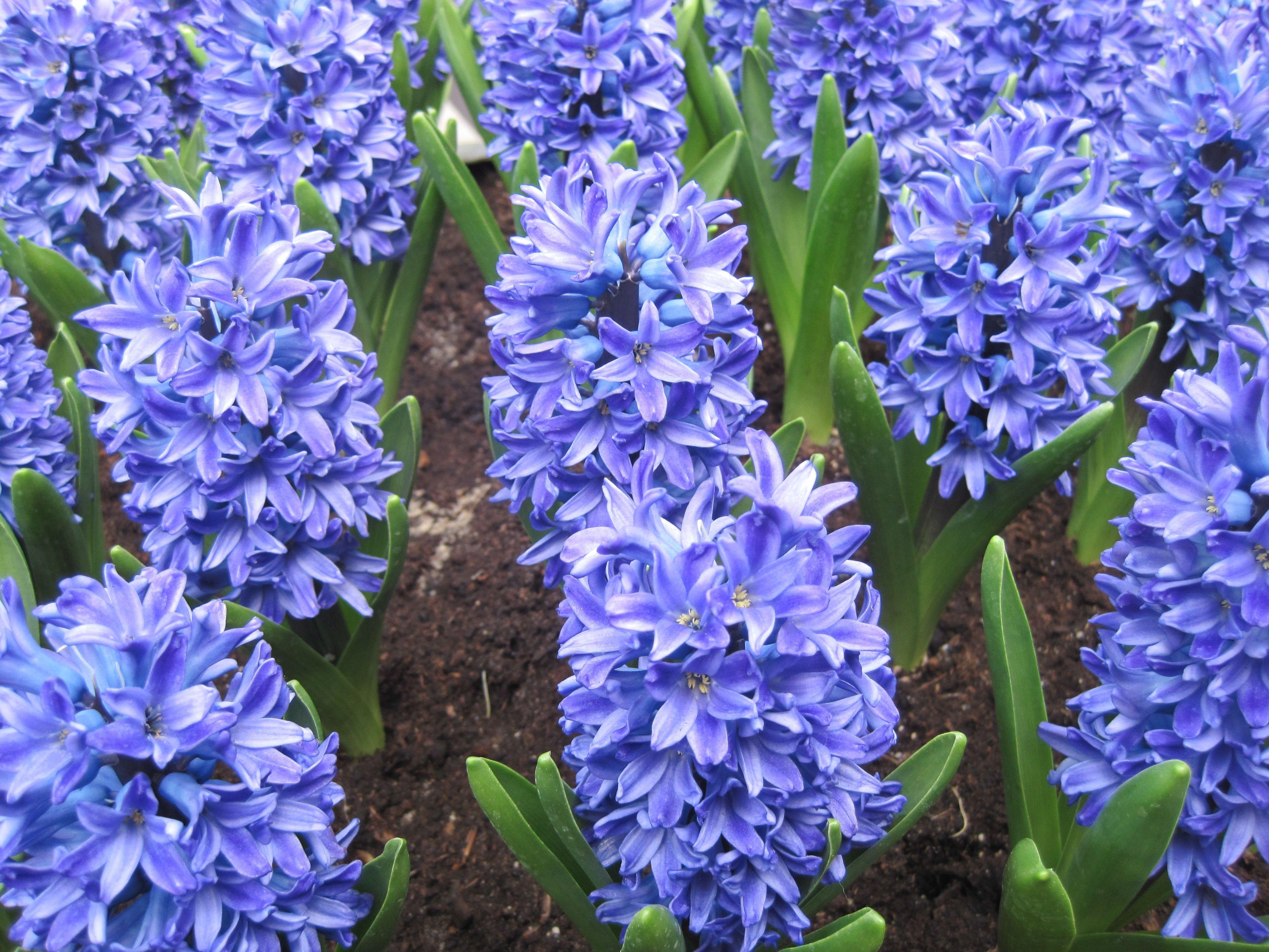 Hyacinths at the Keukenhof The Netherlands