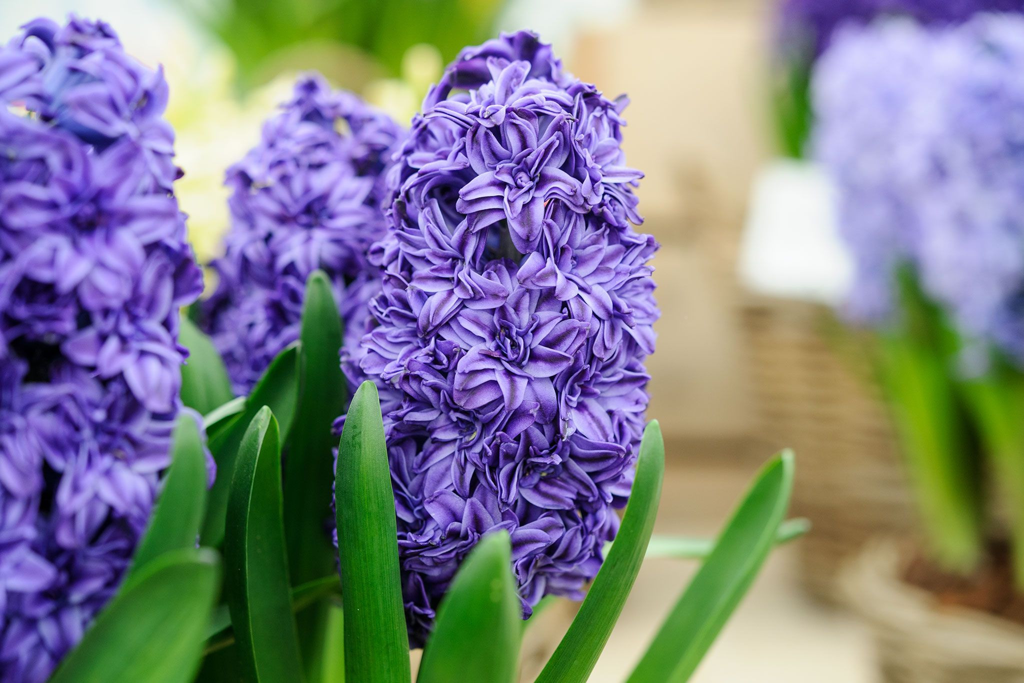 Discover how to force beautiful scented hyacinth bulbs in just five steps with help
