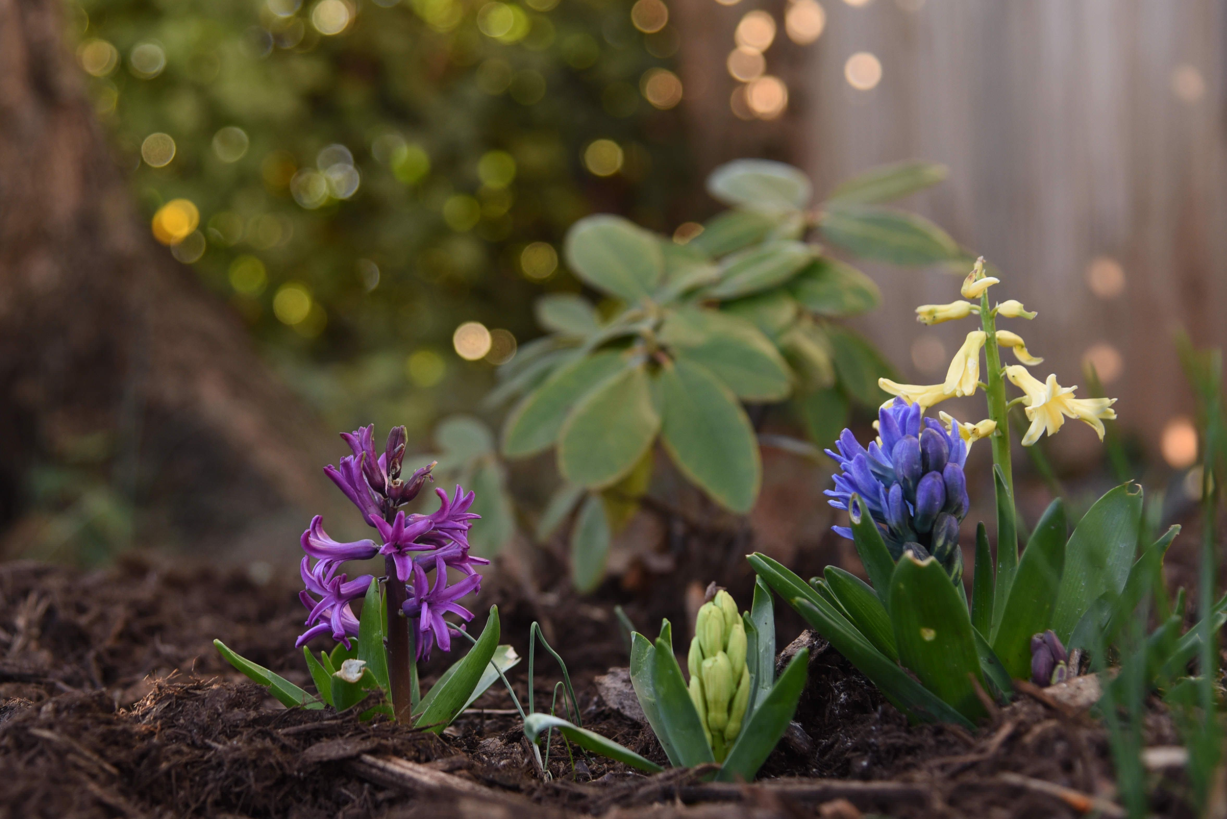 Despite the Cold Hyacinth Flowers