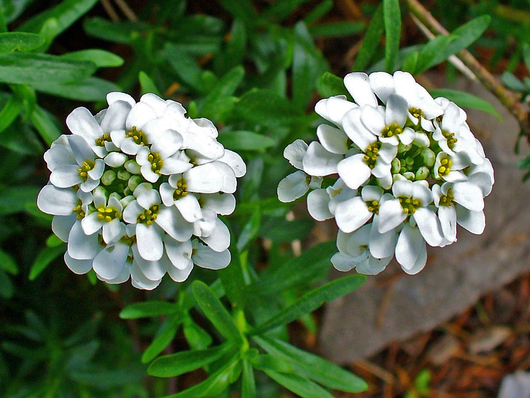 Iberis Flower Best Of Iberis Sempervirens Brassicaea Th Th Becő sori