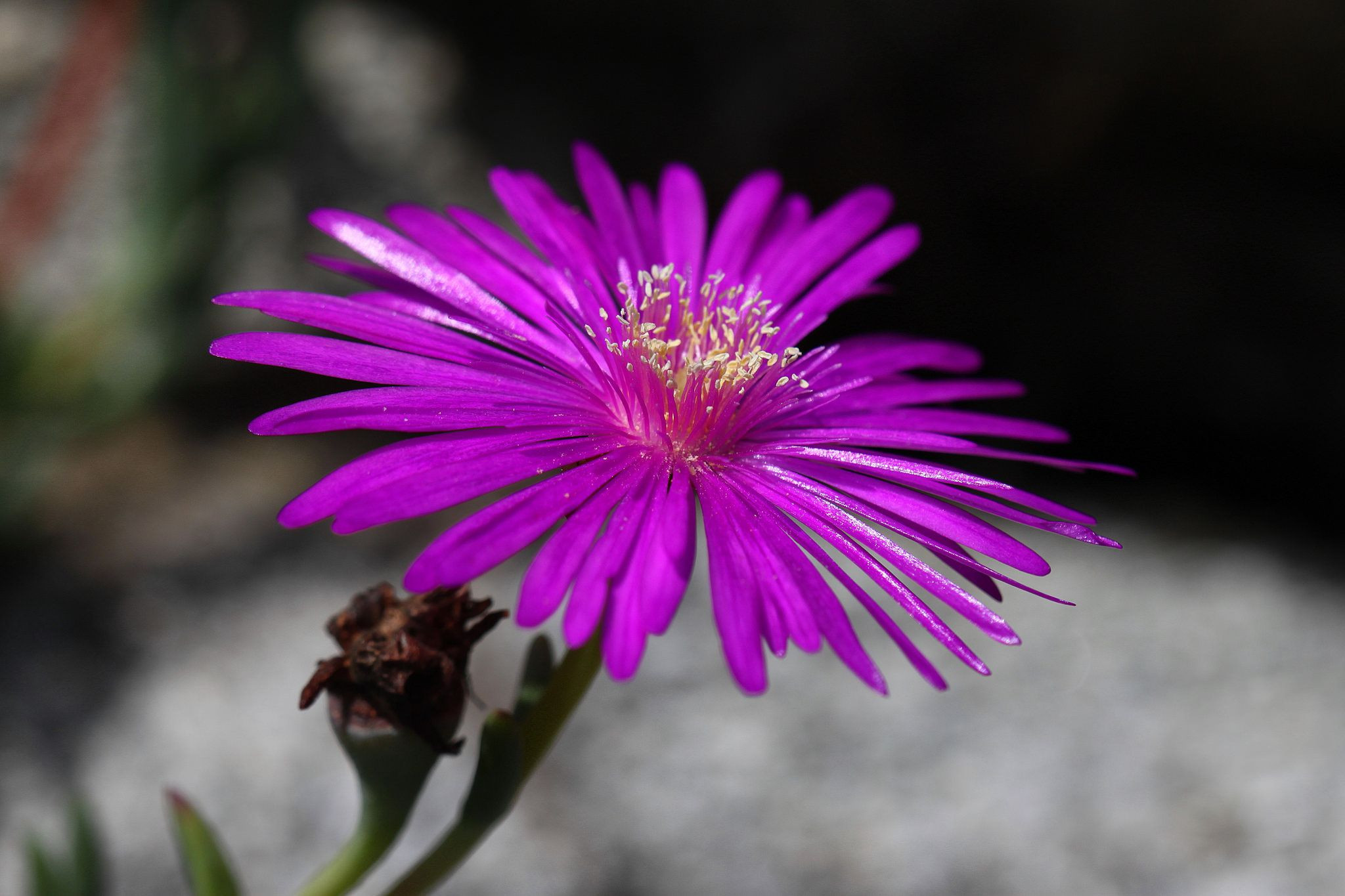 Ice Plant Lampranthus spectabilis [Family Aizoaceae] Flickr Sharing