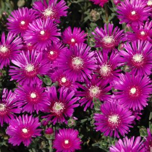 Ice Plant Flower Lovely Hardy Ice Plant is A Super Cool Succulent Groundcover that Holds Up