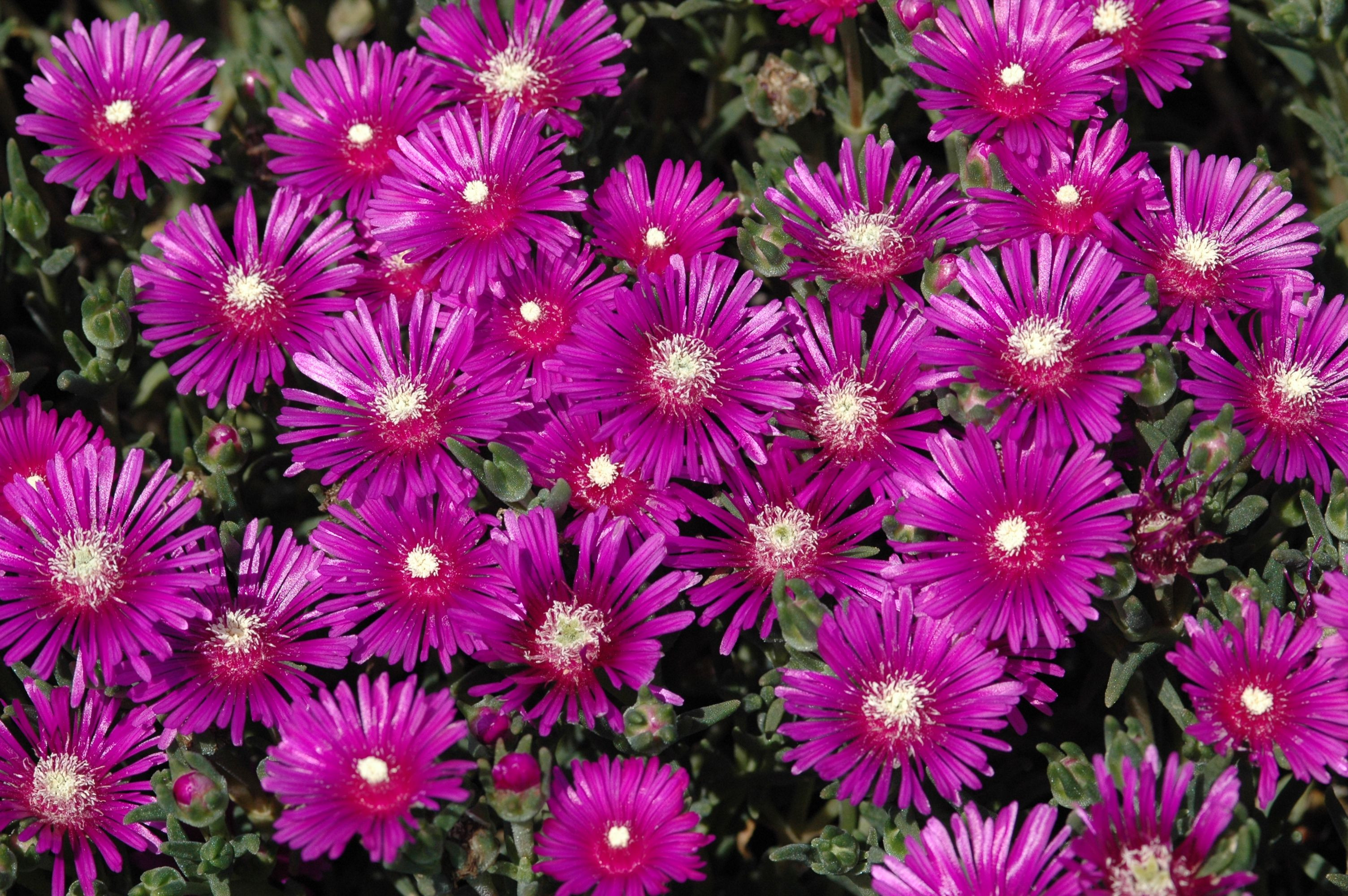 Hardy ice plant is a super cool succulent groundcover that holds up like a champ to hot dry conditions It blooms profusely and attracts butterflies