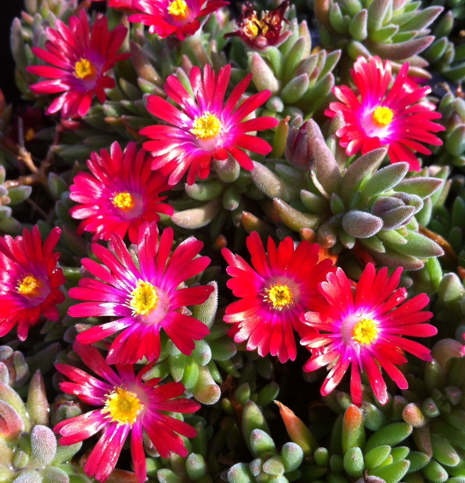 Delosperma Jewel of Desert Garnet This ice plant forms a mat of luscious bright ever green foliage displaying many starry bright coloured flowers