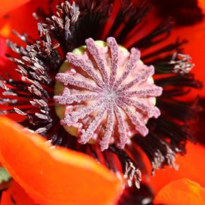 Iceland Poppy Flower New Poppy Wiktionary