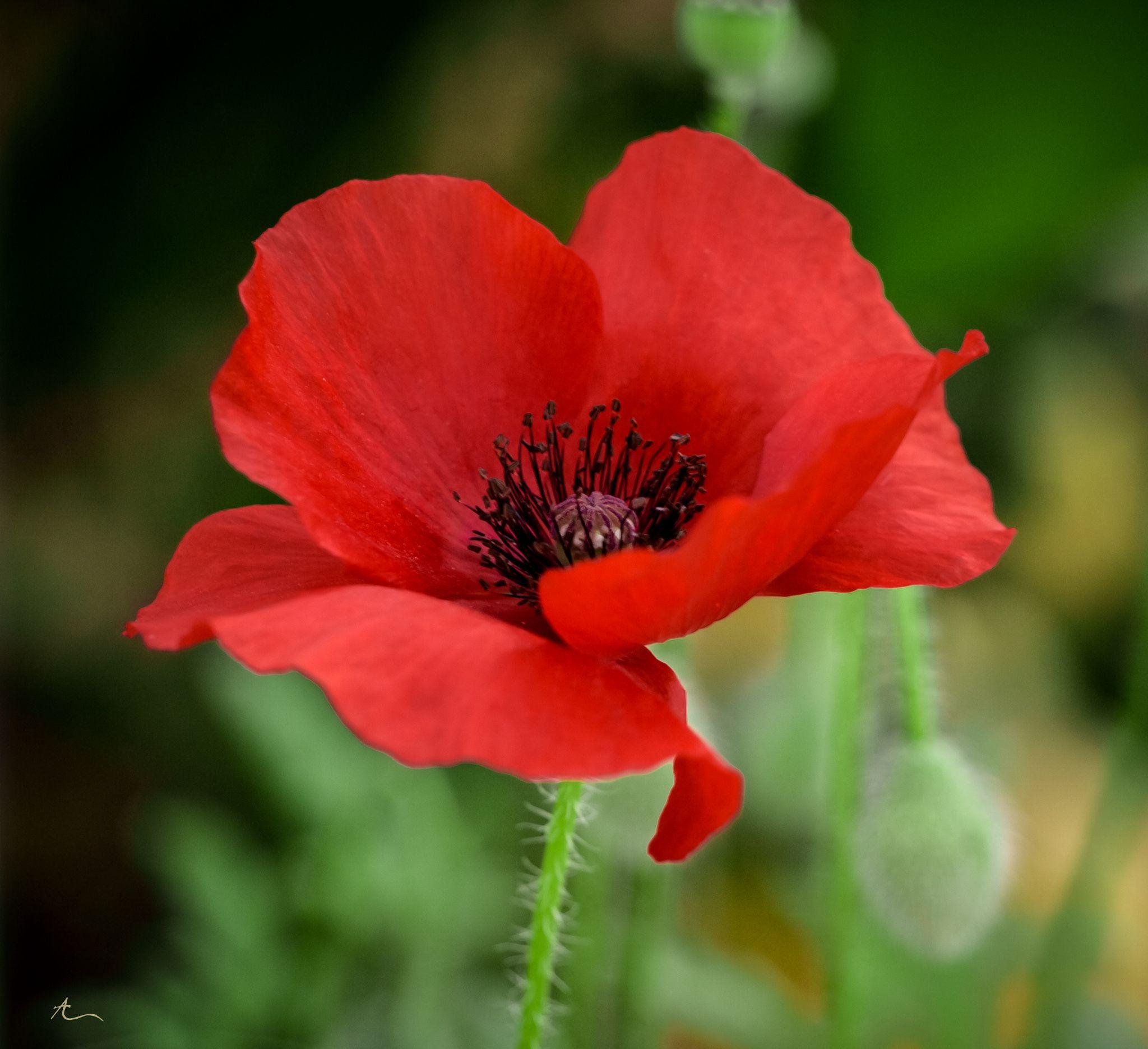 Фотография Poppy Red автор AF Designs на 500px