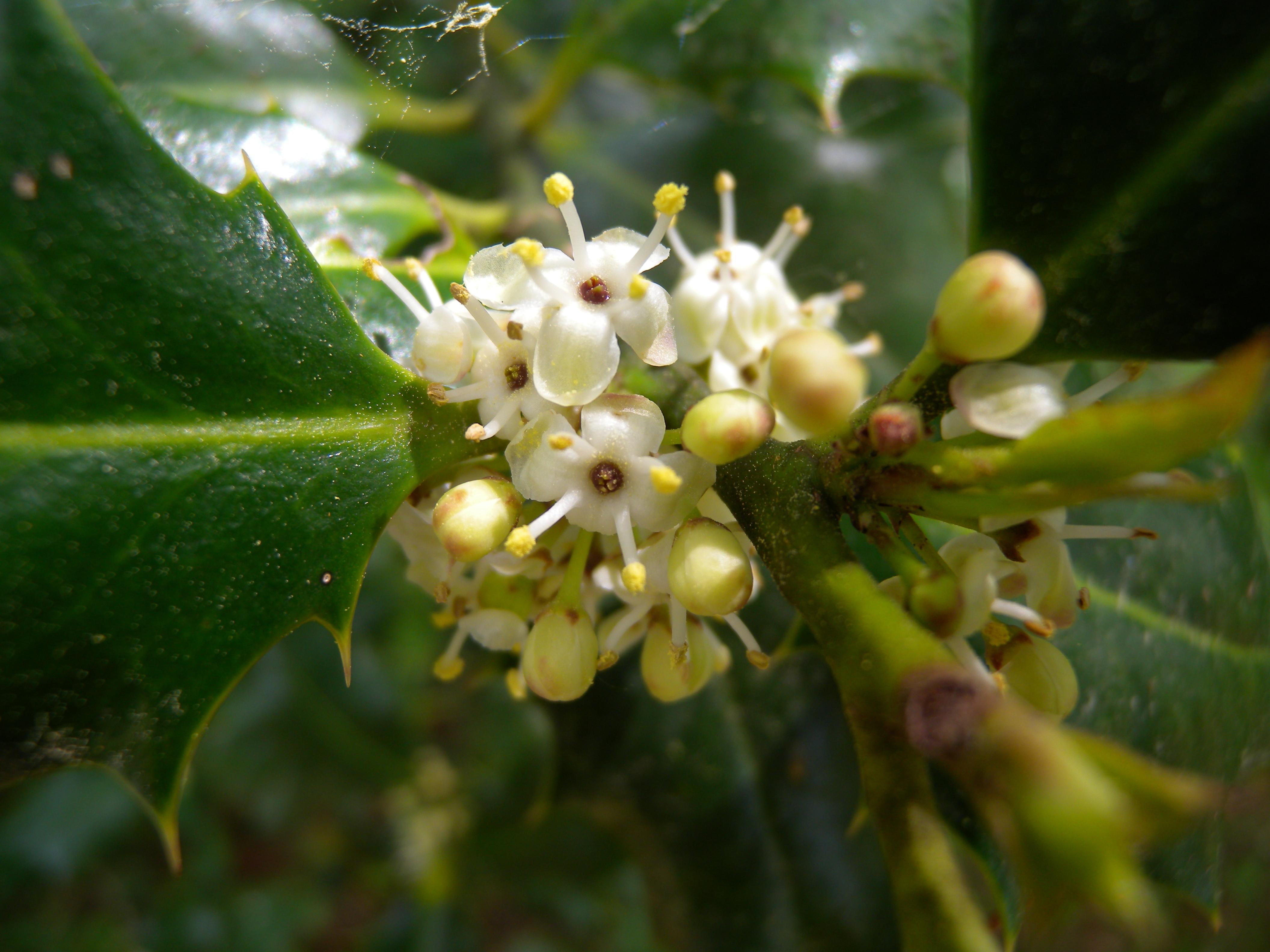 File Ilex aquifolium male flowers JPG